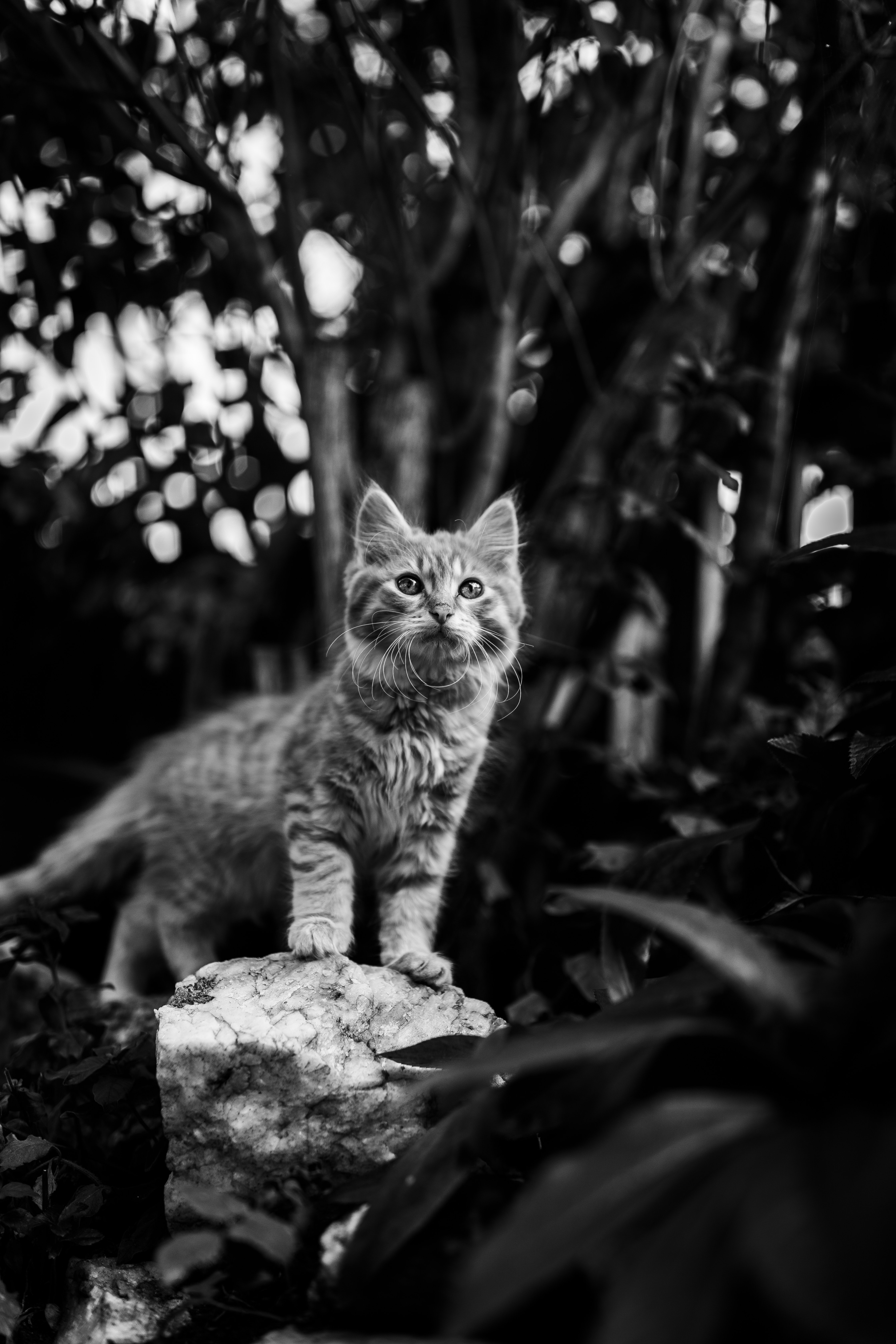 83875 Screensavers and Wallpapers Pet for phone. Download Animals, Kitty, Kitten, Cat, Pet, Animal, Bw, Chb pictures for free