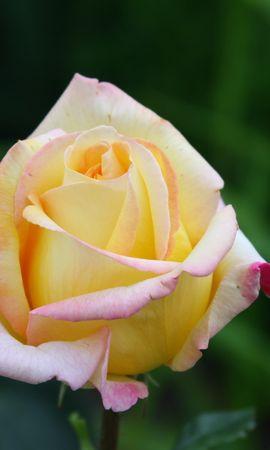 24120 télécharger le fond d'écran Plantes, Fleurs, Roses - économiseurs d'écran et images gratuitement