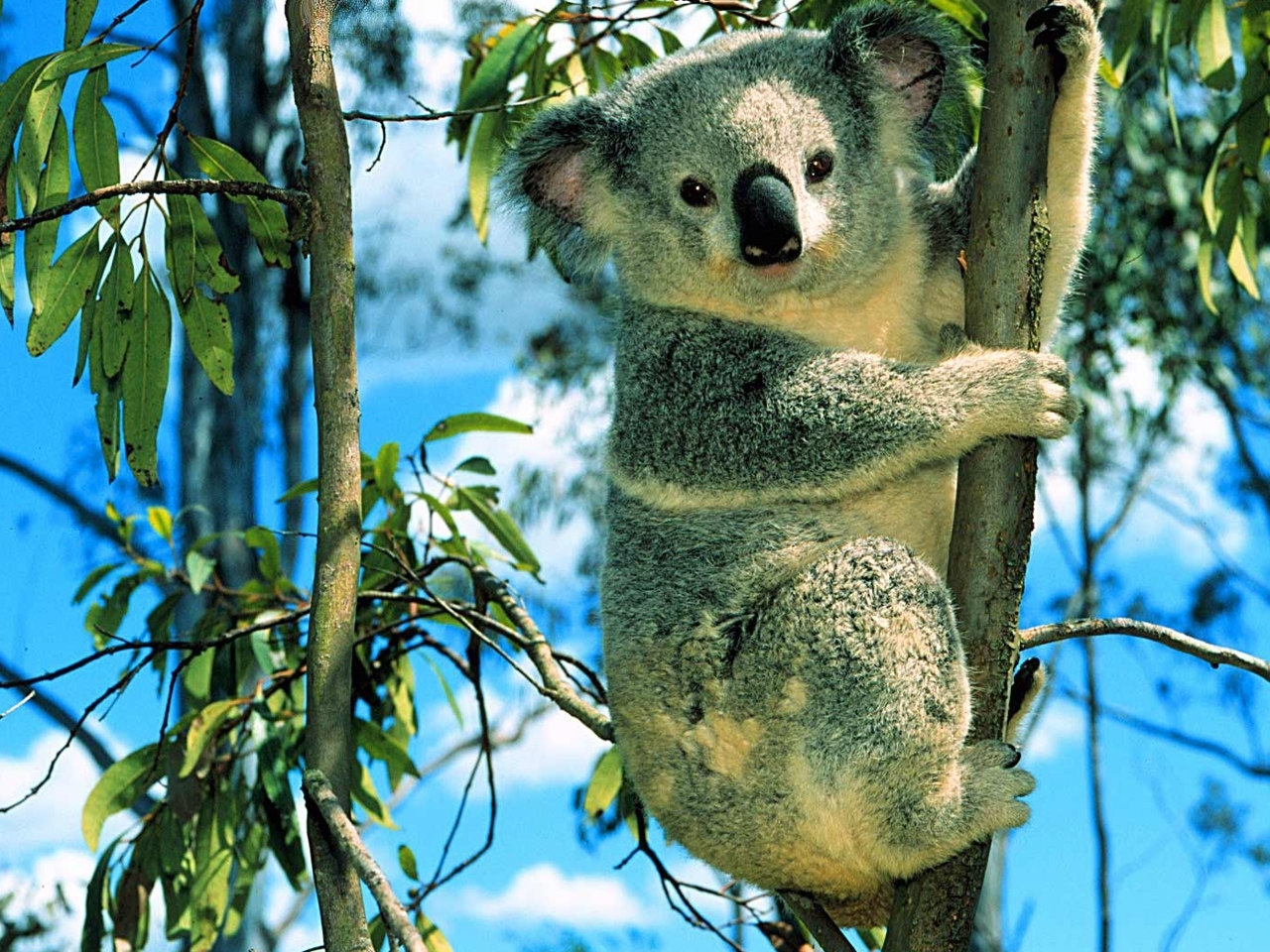 40204 download wallpaper Animals, Koalas screensavers and pictures for free