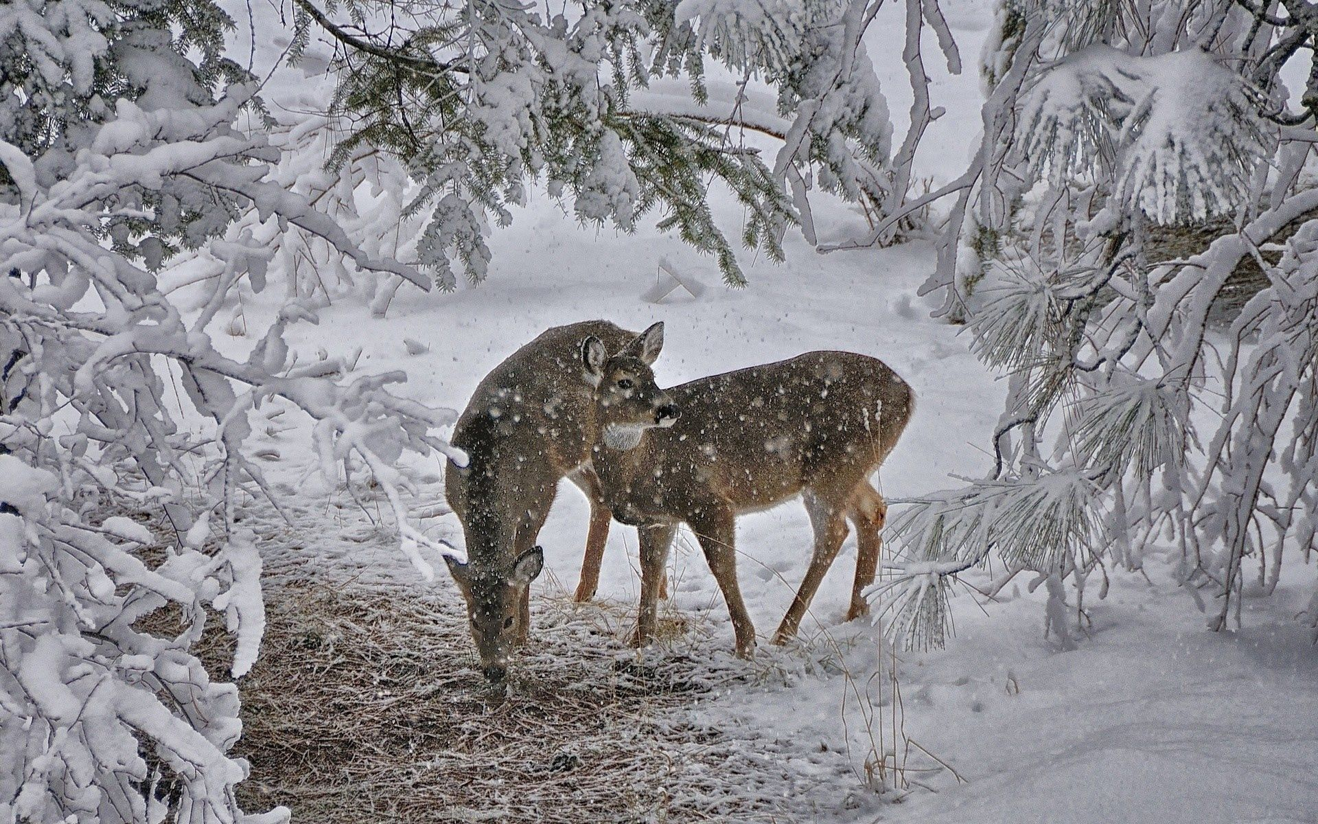 115492 download wallpaper Animals, Deers, Snow, Trees screensavers and pictures for free