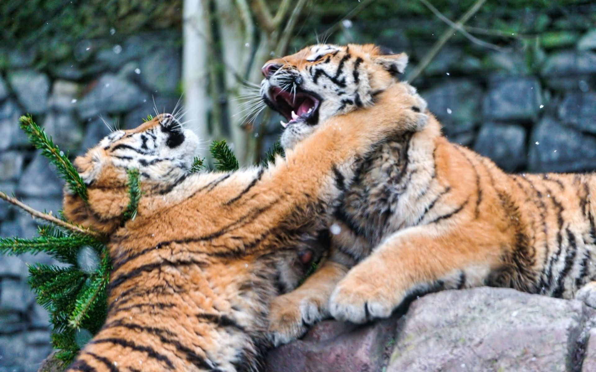 73980 Screensavers and Wallpapers Predators for phone. Download Animals, Tigers, Predators, Fight pictures for free