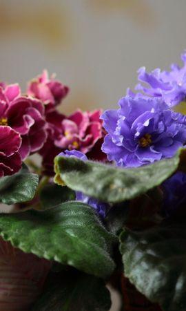 61040 Заставки і шпалери Фіалки на телефон. Завантажити Квіти, Фіалки, Кімнатні Квіти, Критий, Листя, Розмитість, Гладкою картинки безкоштовно