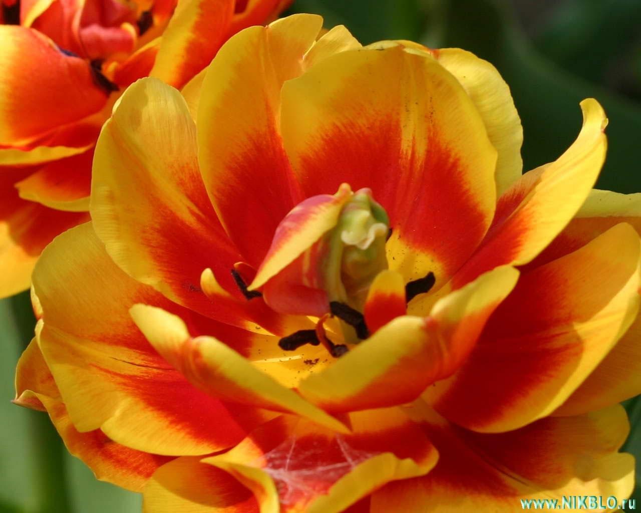 4325 скачать обои Растения, Цветы - заставки и картинки бесплатно
