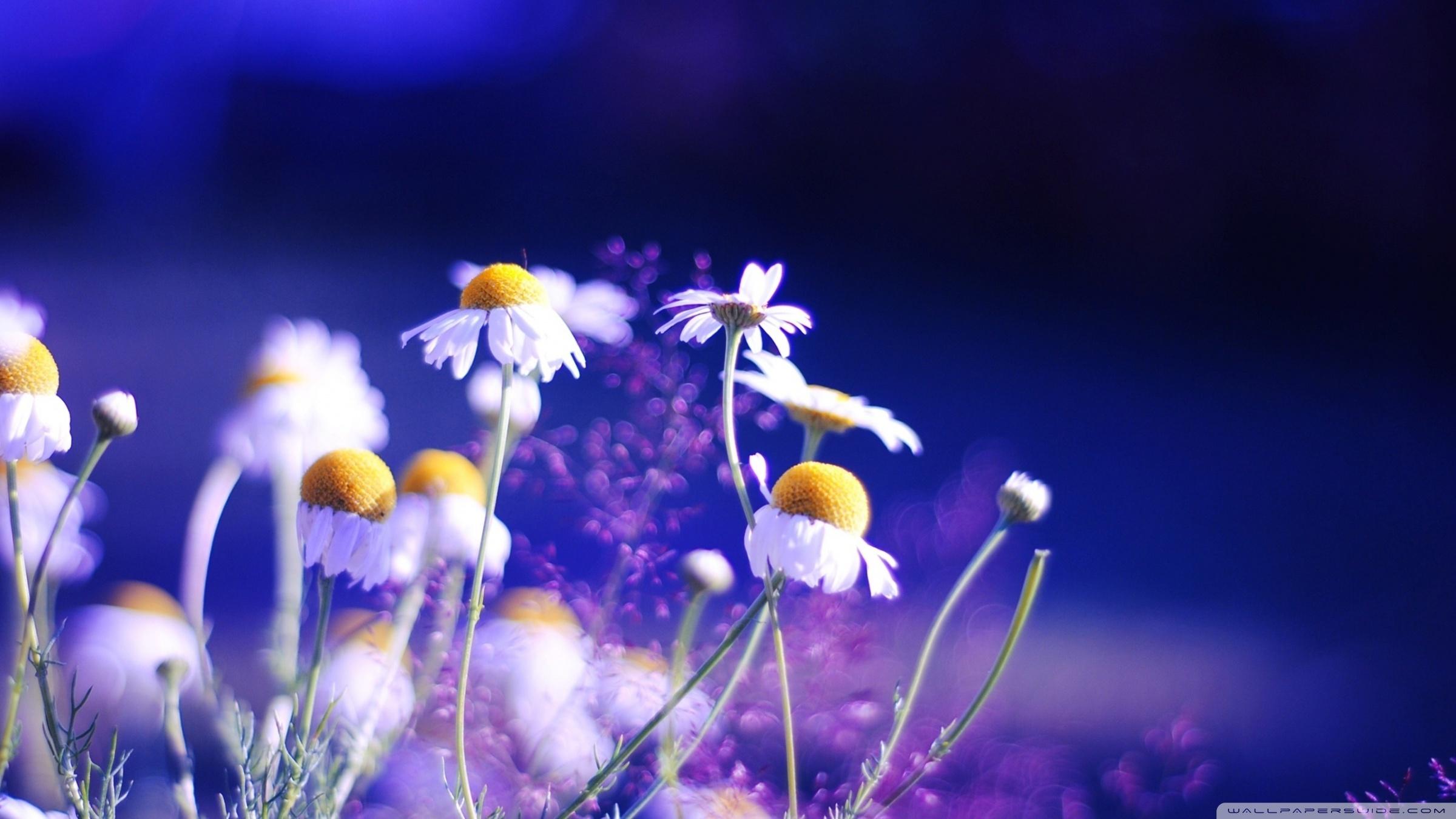 15972 descargar fondo de pantalla Plantas, Flores, Camomila: protectores de pantalla e imágenes gratis