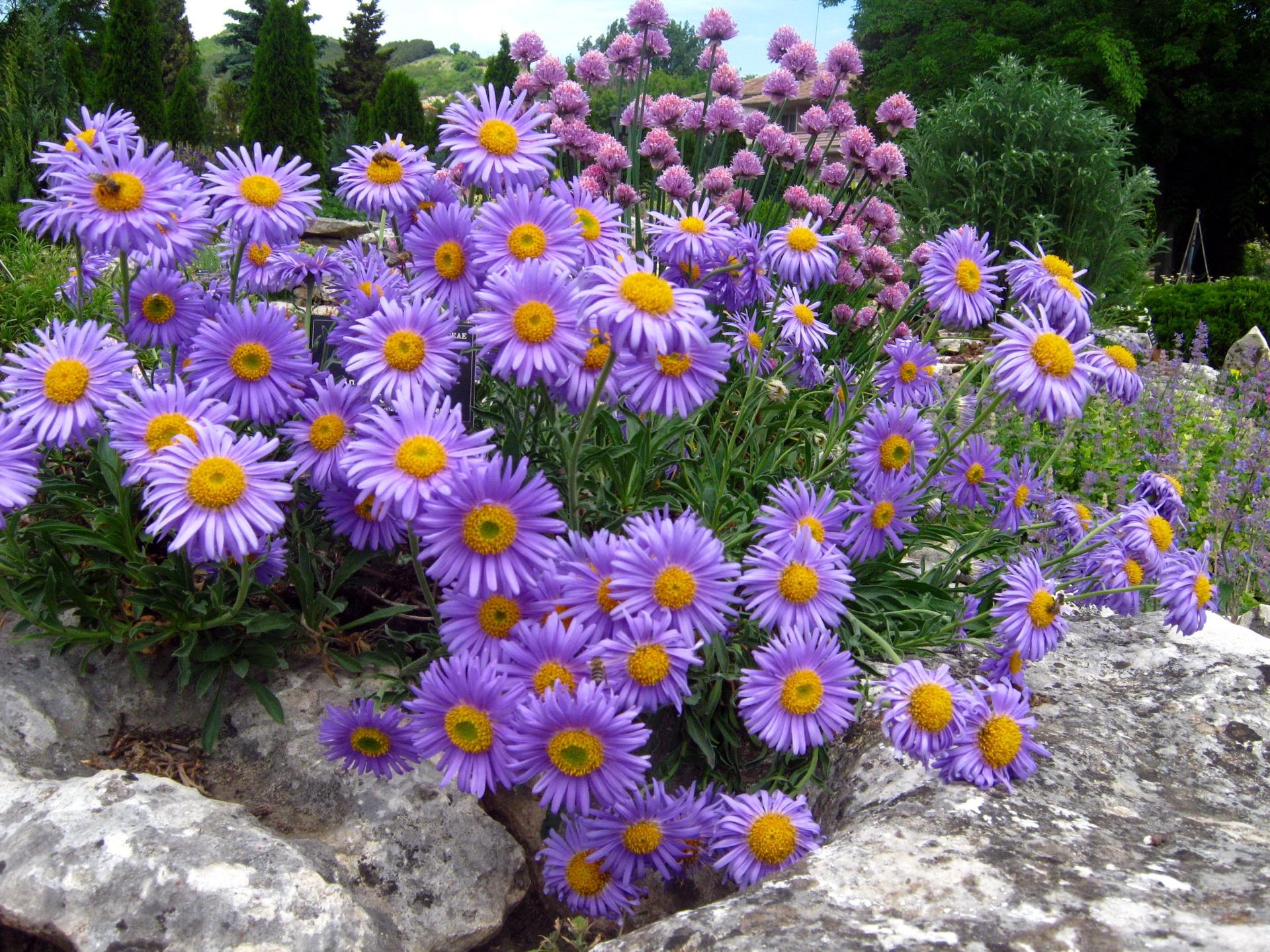 97888 Salvapantallas y fondos de pantalla Flores en tu teléfono. Descarga imágenes de Flores, Ásteres, Aster, Una Roca, Piedra, El Parque, Parque, Relajación, Reposo gratis