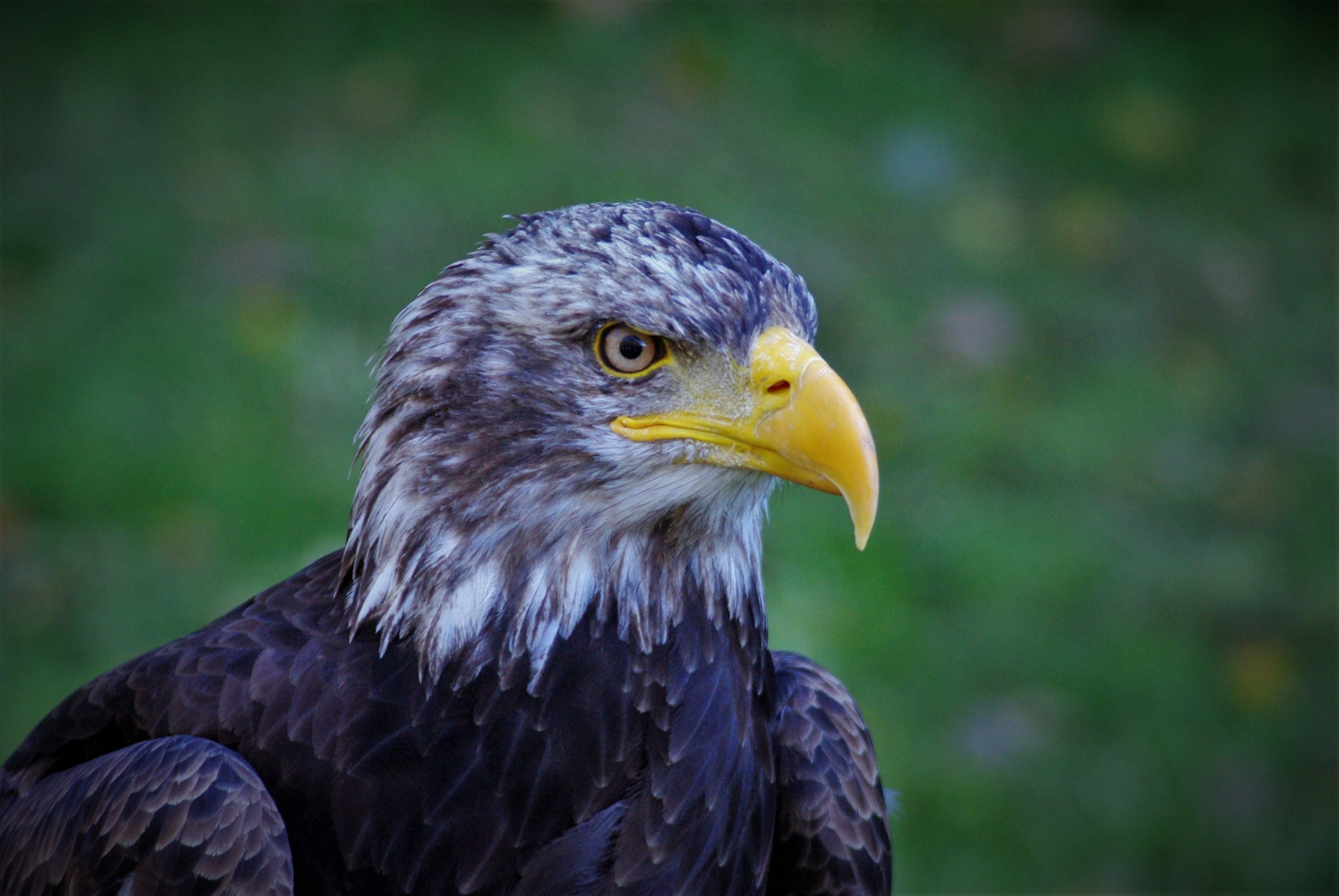 73601 download wallpaper Animals, Bald Eagle, White-Headed Eagle, Eagle, Bird, Predator, Beak screensavers and pictures for free