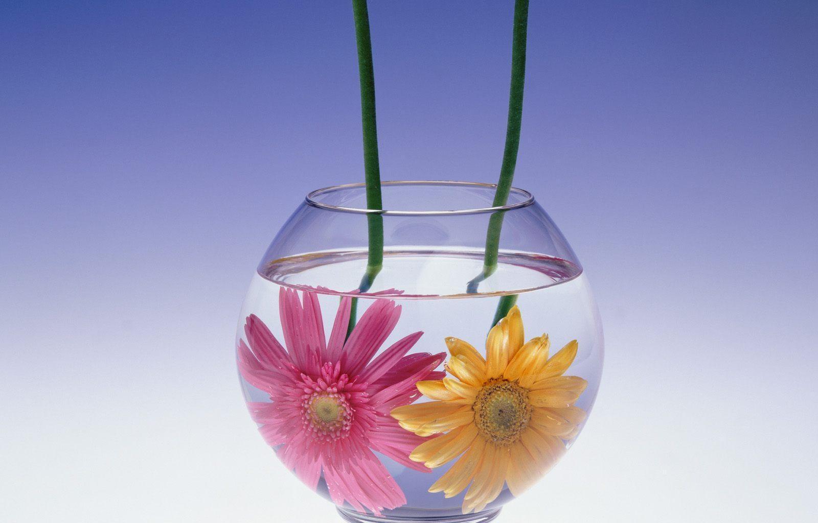 132070 Screensavers and Wallpapers Aquarium for phone. Download Flowers, Water, Gerberas, Couple, Pair, Aquarium pictures for free