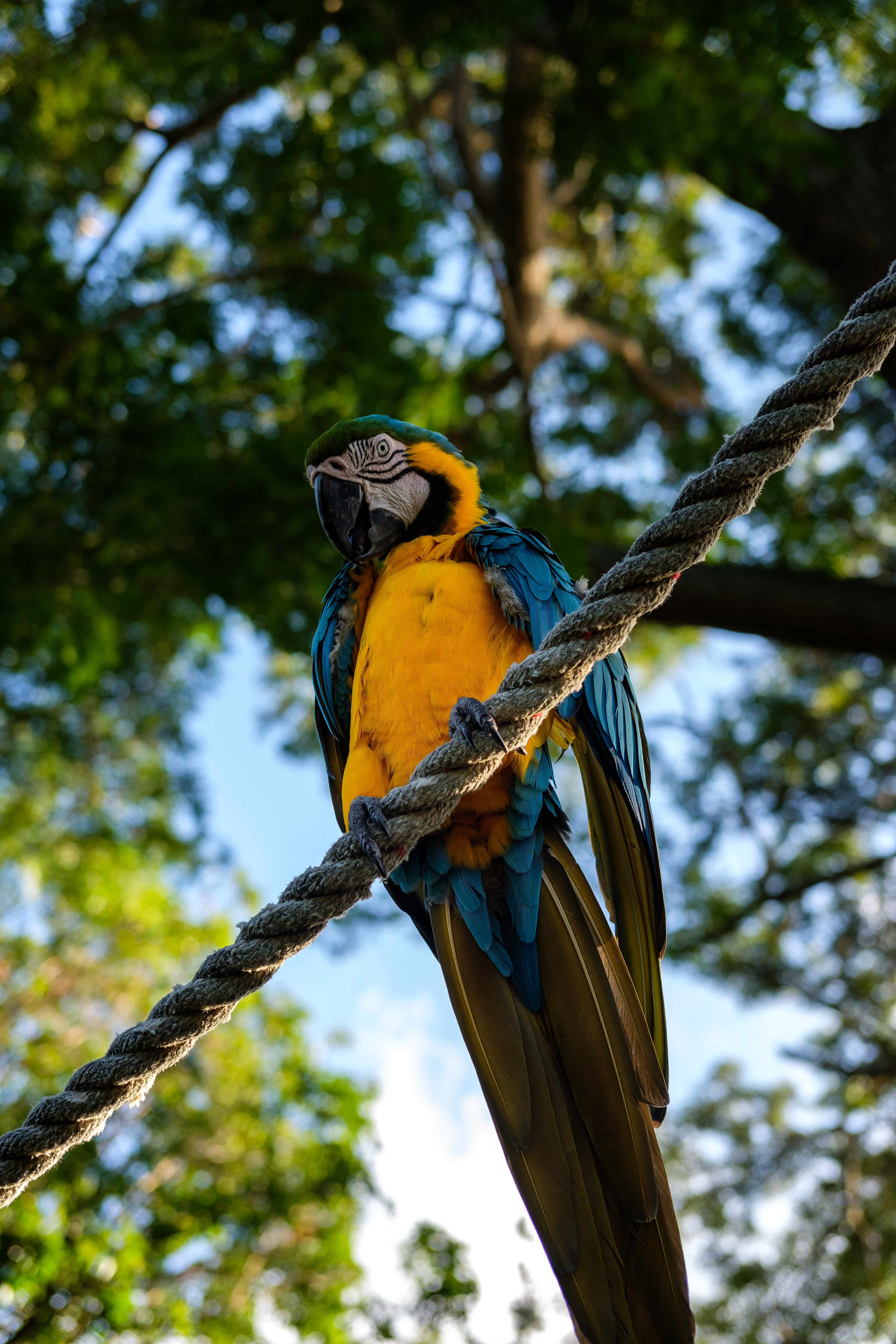 61006 Screensavers and Wallpapers Parrots for phone. Download Animals, Parrots, Bird, Is Sitting, Sits, Macaw, Rope pictures for free