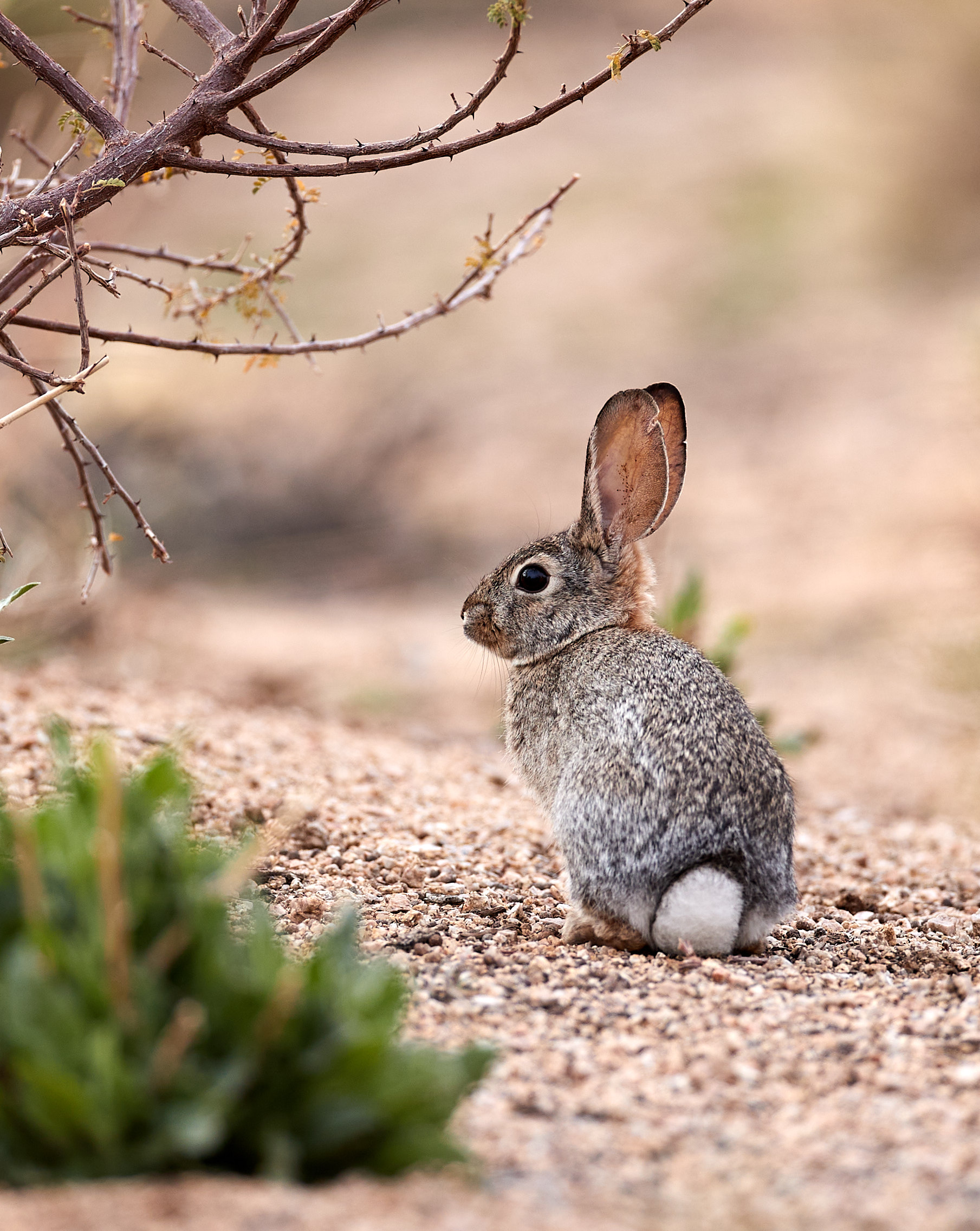130232 download wallpaper Animals, Hare, Animal, Sight, Opinion, Wildlife screensavers and pictures for free