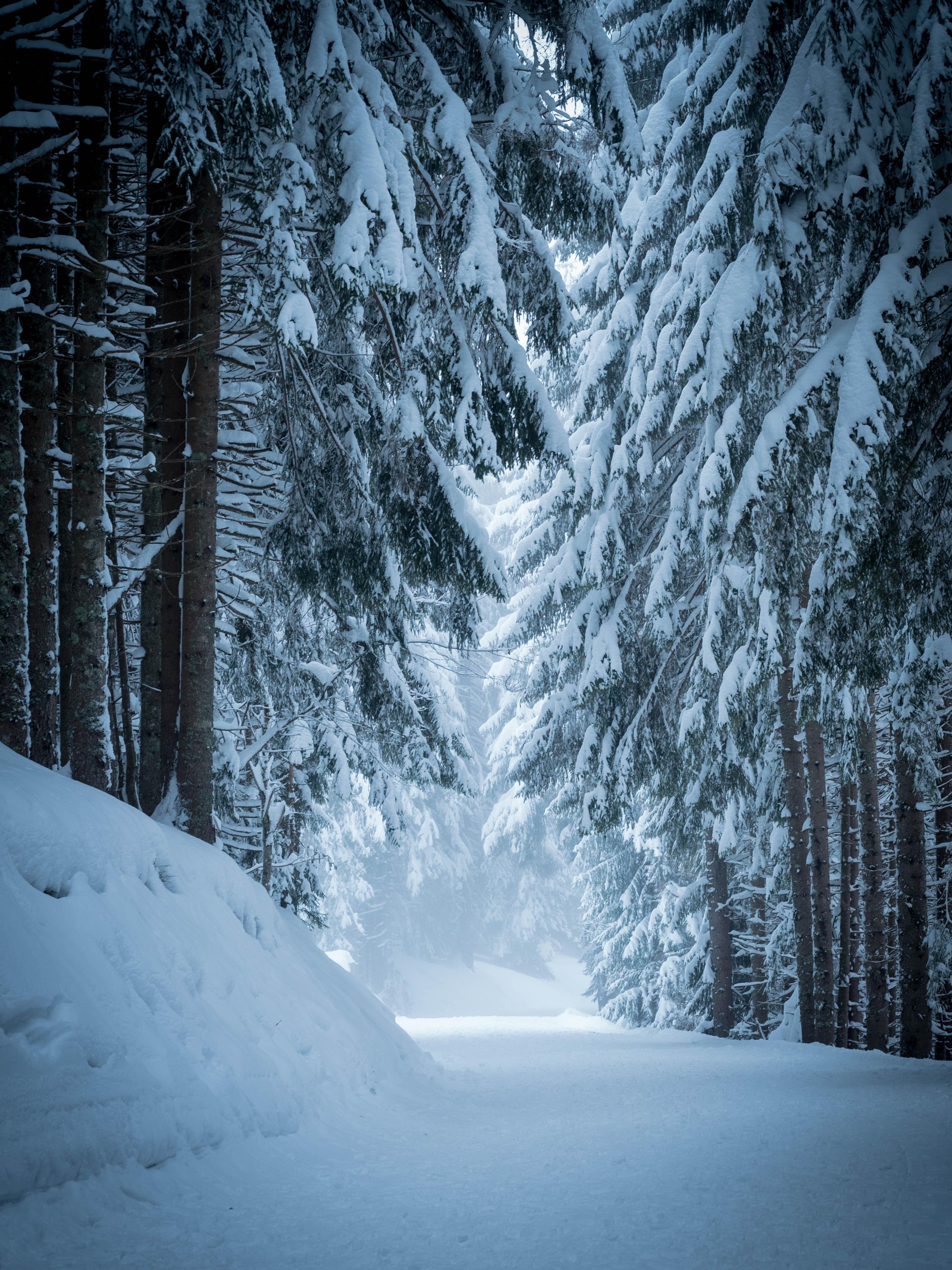 120869 скачать обои Природа, Лес, Снег, Зима, Деревья, Сосны - заставки и картинки бесплатно
