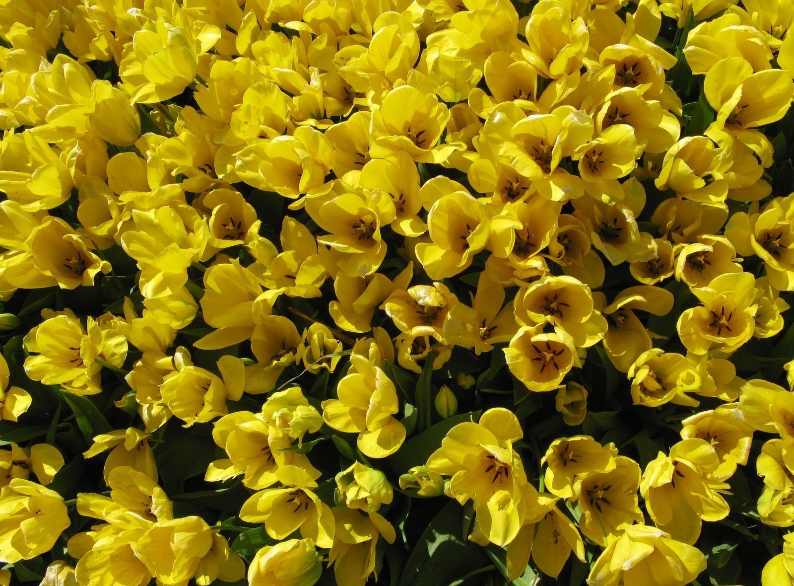 129368 скачать обои Цветы, Распущенные, Много, Тюльпаны - заставки и картинки бесплатно