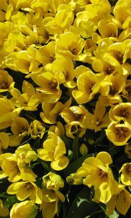129368 télécharger le fond d'écran Fleurs, Démantelé, Lâche, Parcelle, Beaucoup, Tulipes - économiseurs d'écran et images gratuitement