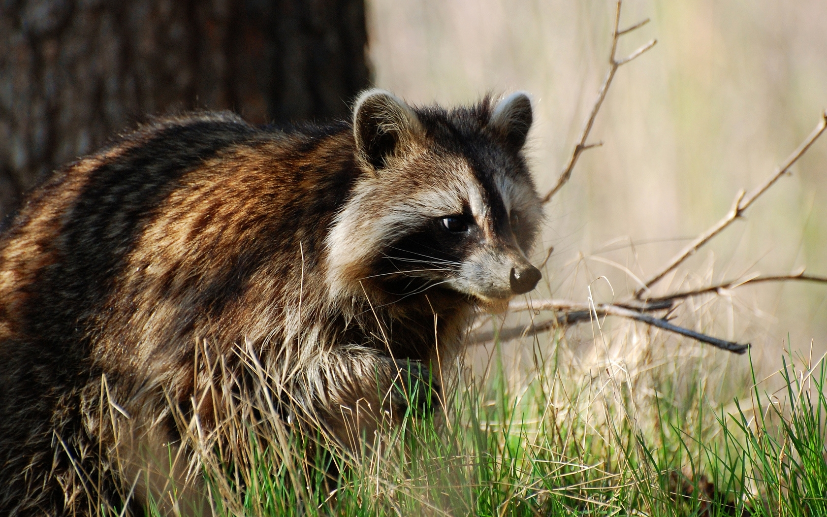 38424 download wallpaper Animals, Raccoons screensavers and pictures for free