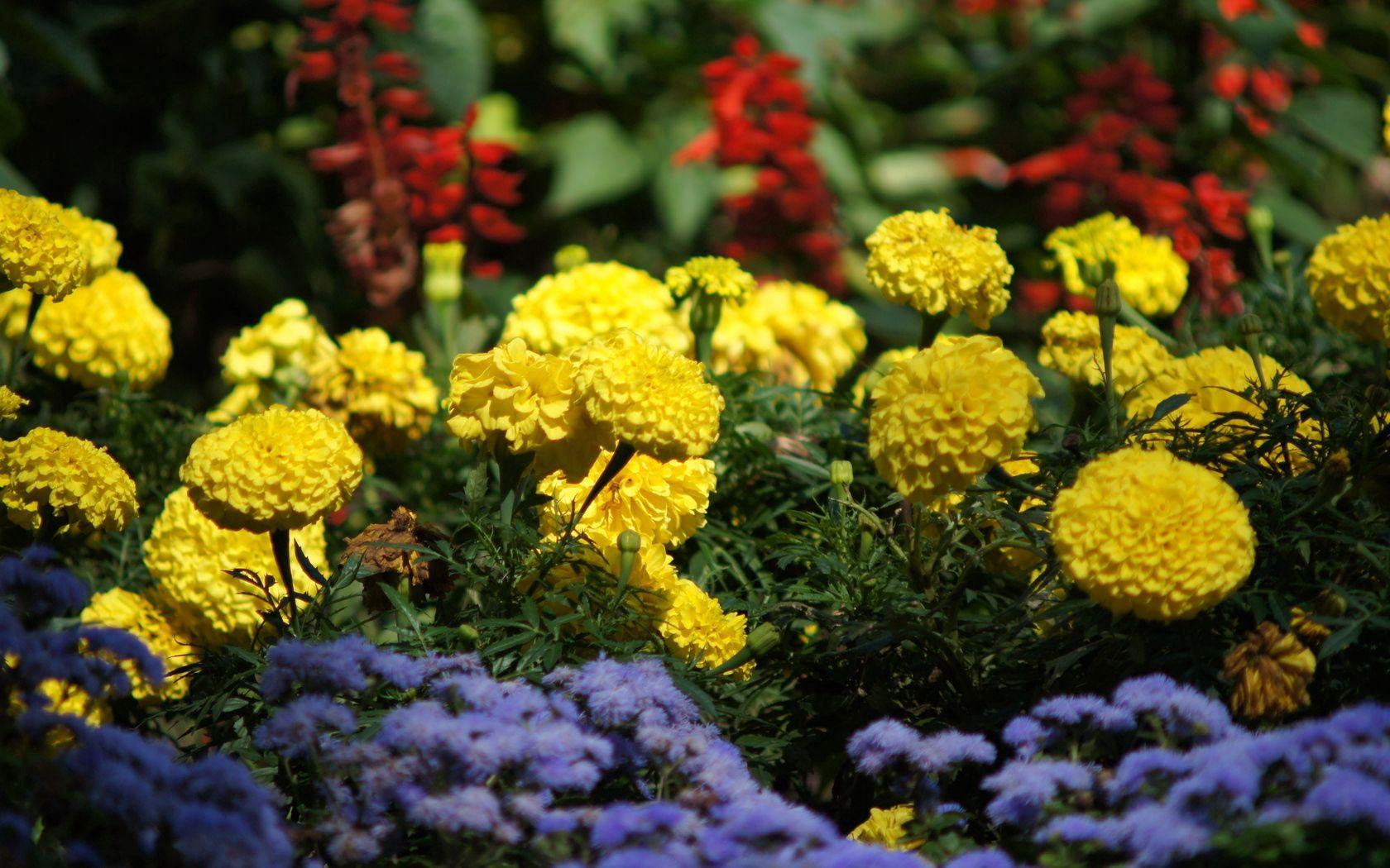 123380 скачать обои Цветы, Зелень, Яркие, Клумба, Бархотки - заставки и картинки бесплатно