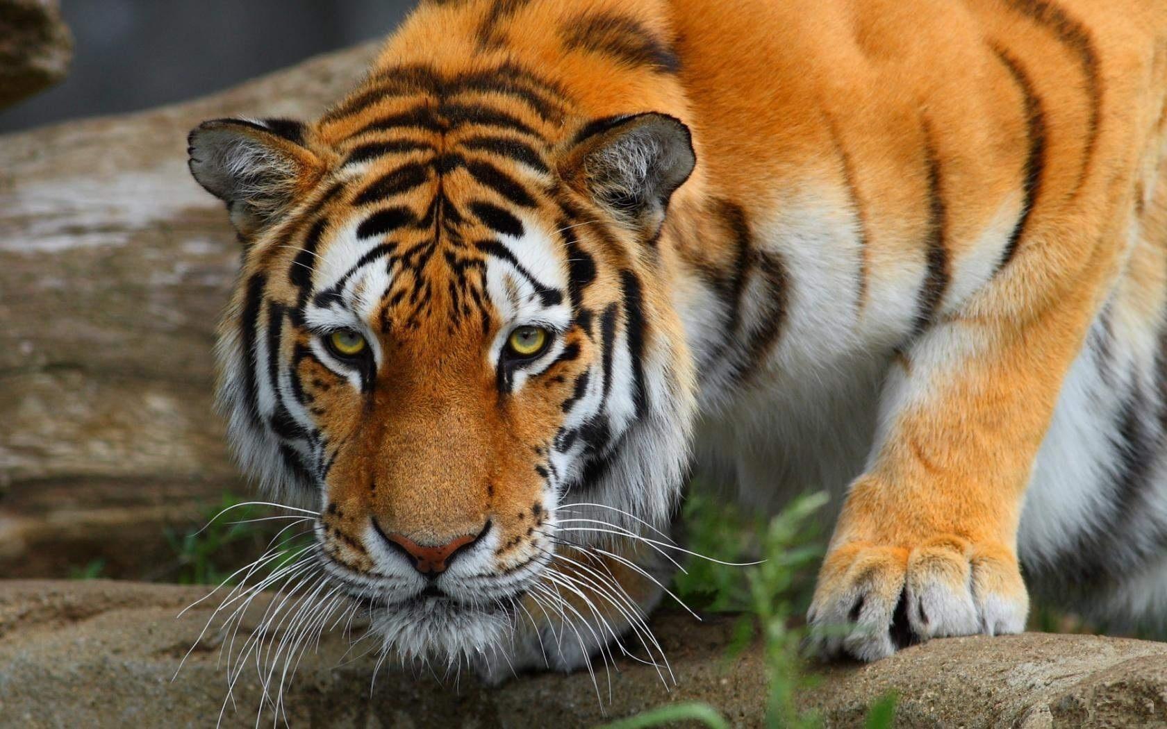31167 скачать обои Животные, Тигры - заставки и картинки бесплатно