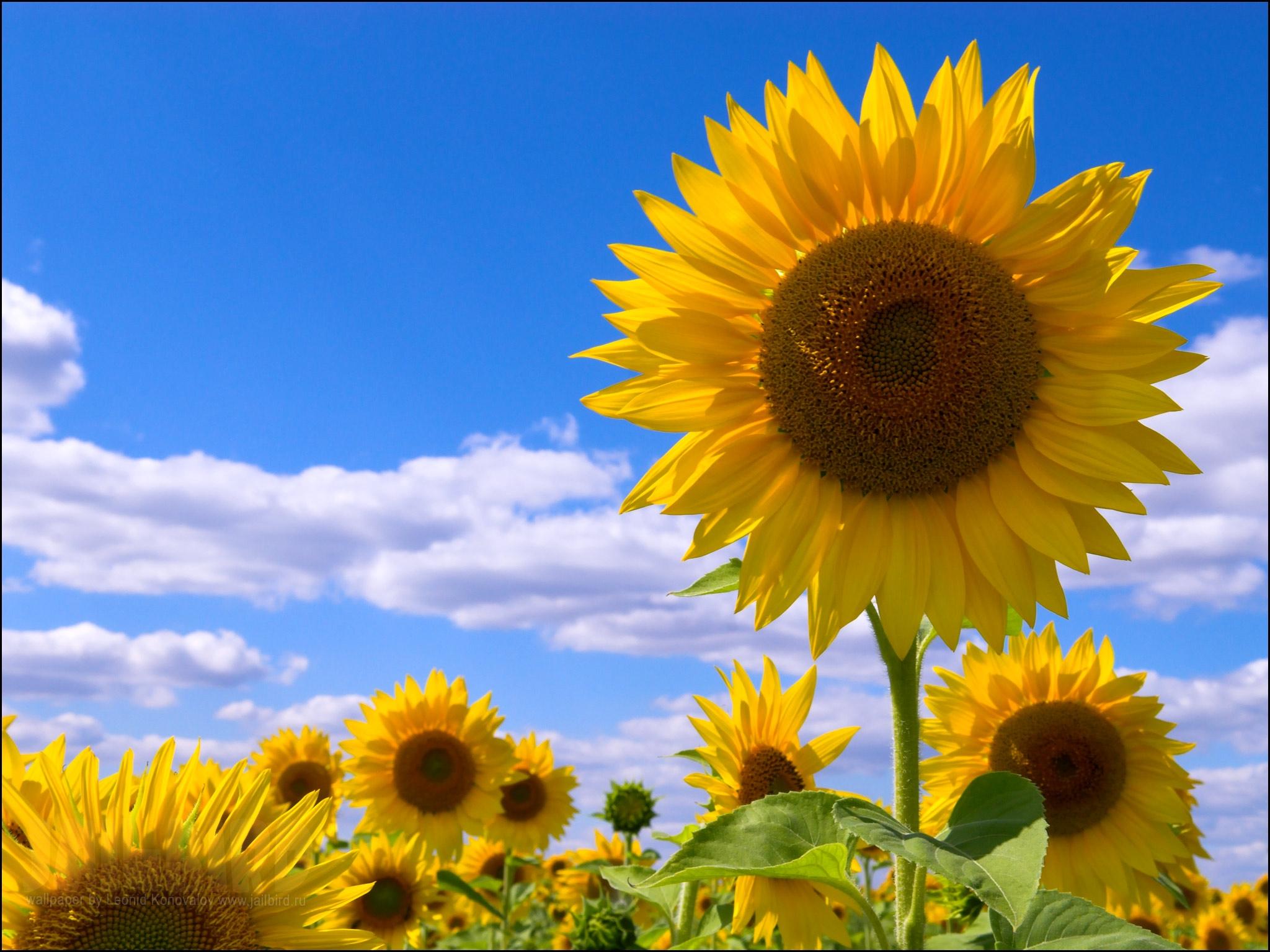 119040 Заставки и Обои Подсолнухи на телефон. Скачать Цветы, Поле, Небо, Облака, Лето, Подсолнухи картинки бесплатно