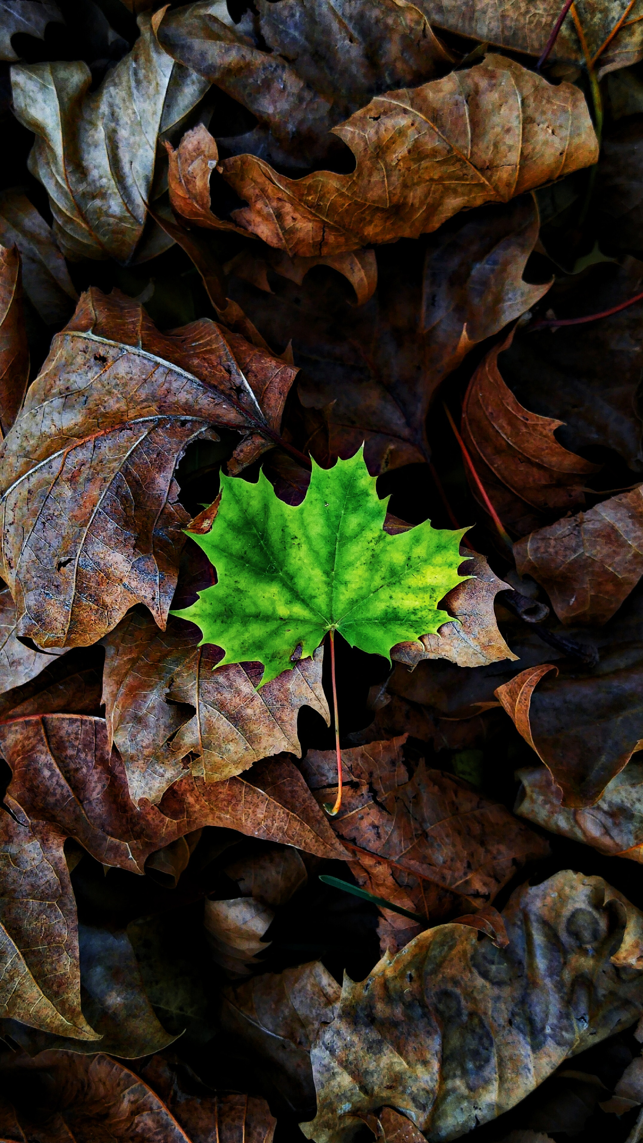 144261 download wallpaper Nature, Sheet, Leaf, Maple, Autumn, Fallen screensavers and pictures for free