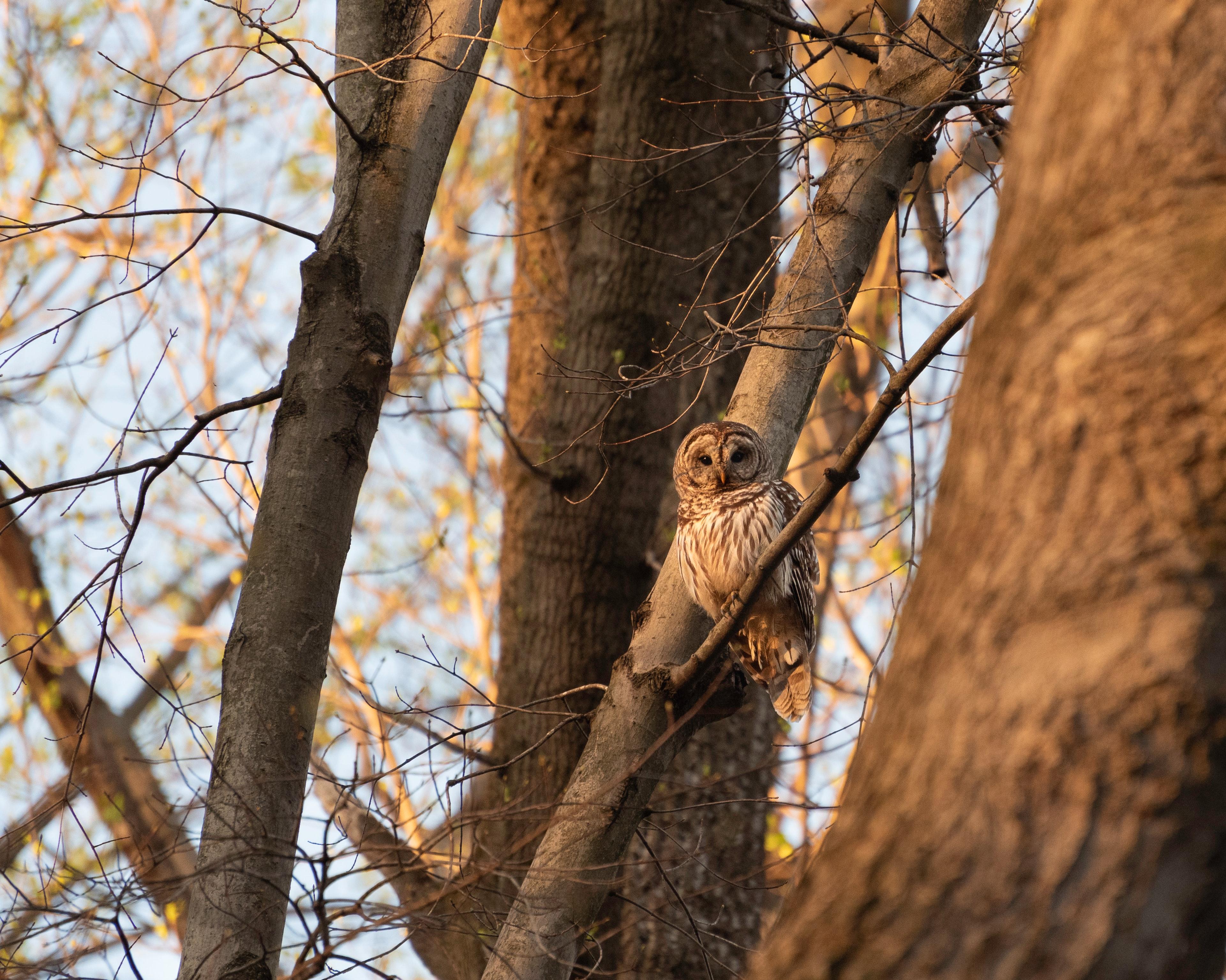 87071 скачать обои Животные, Сова, Птица, Ветки, Дерево, Дикая Природа - заставки и картинки бесплатно