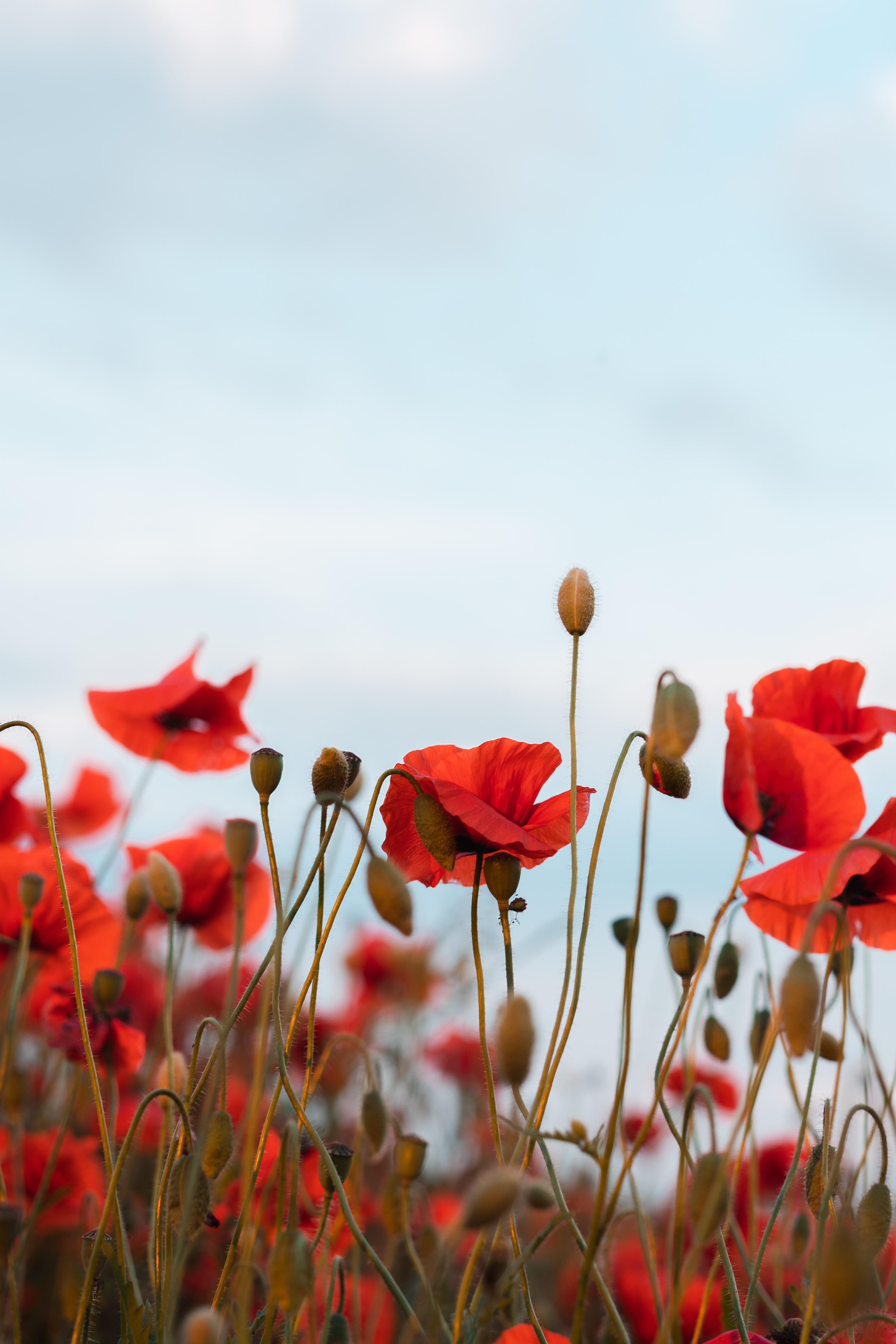 61141 скачать обои Цветы, Маки, Полевые Цветы, Небо - заставки и картинки бесплатно
