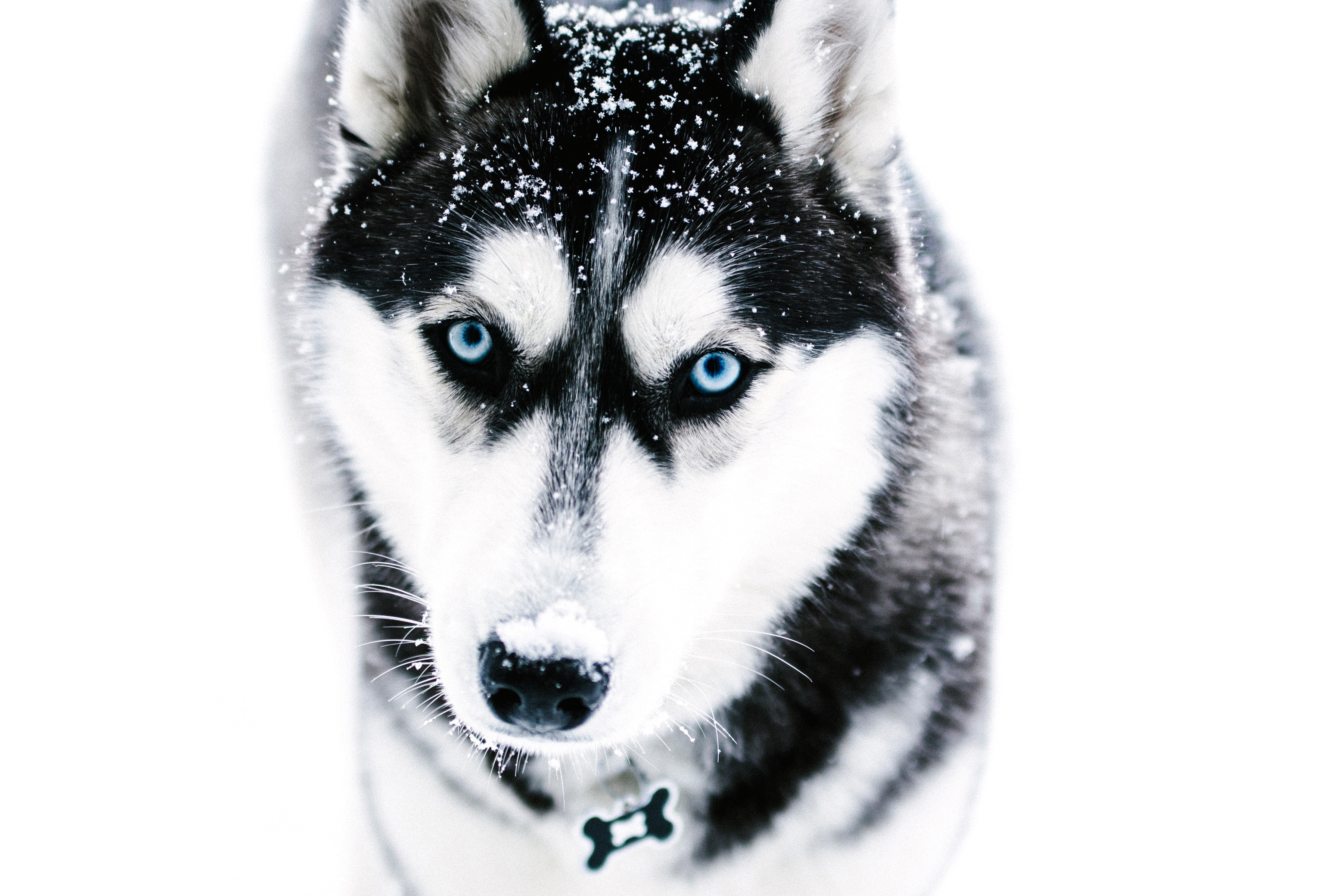 94636 download wallpaper Animals, Dog, Muzzle, Husky, Haska, Blue Eyed, Blue-Eyed screensavers and pictures for free