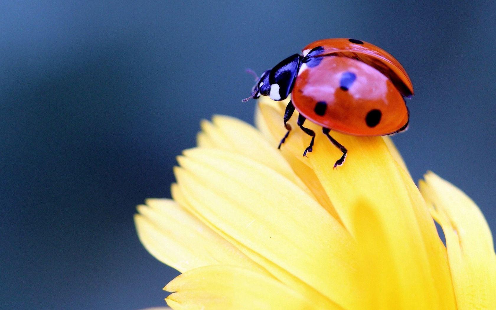 140084 Hintergrundbild herunterladen Marienkäfer, Blume, Makro, Ladybird, Blütenblatt - Bildschirmschoner und Bilder kostenlos