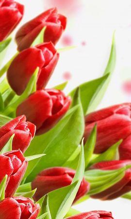 22846 скачать обои Растения, Цветы, Тюльпаны - заставки и картинки бесплатно