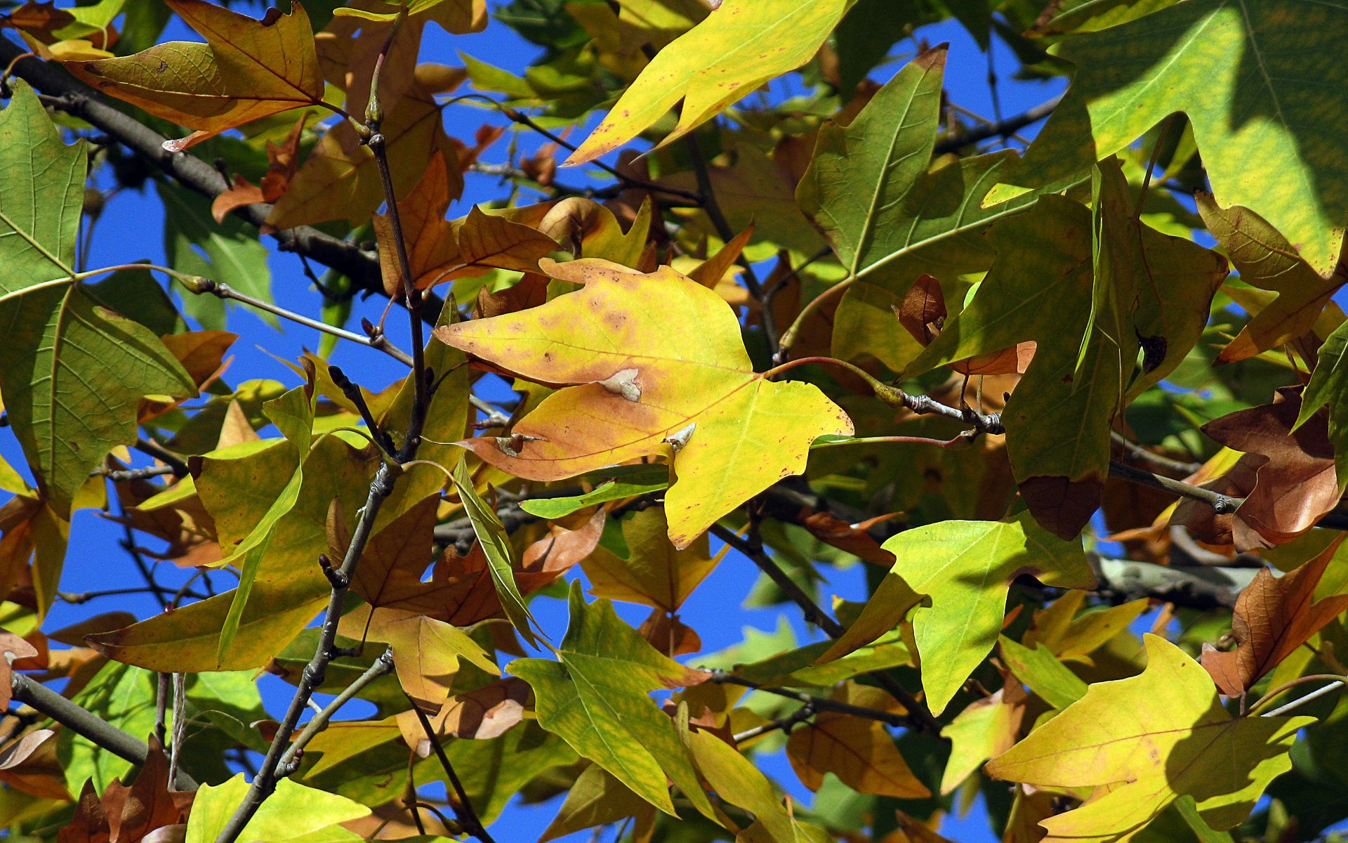 144248 download wallpaper Nature, Leaves, Maple, Dry, Autumn screensavers and pictures for free