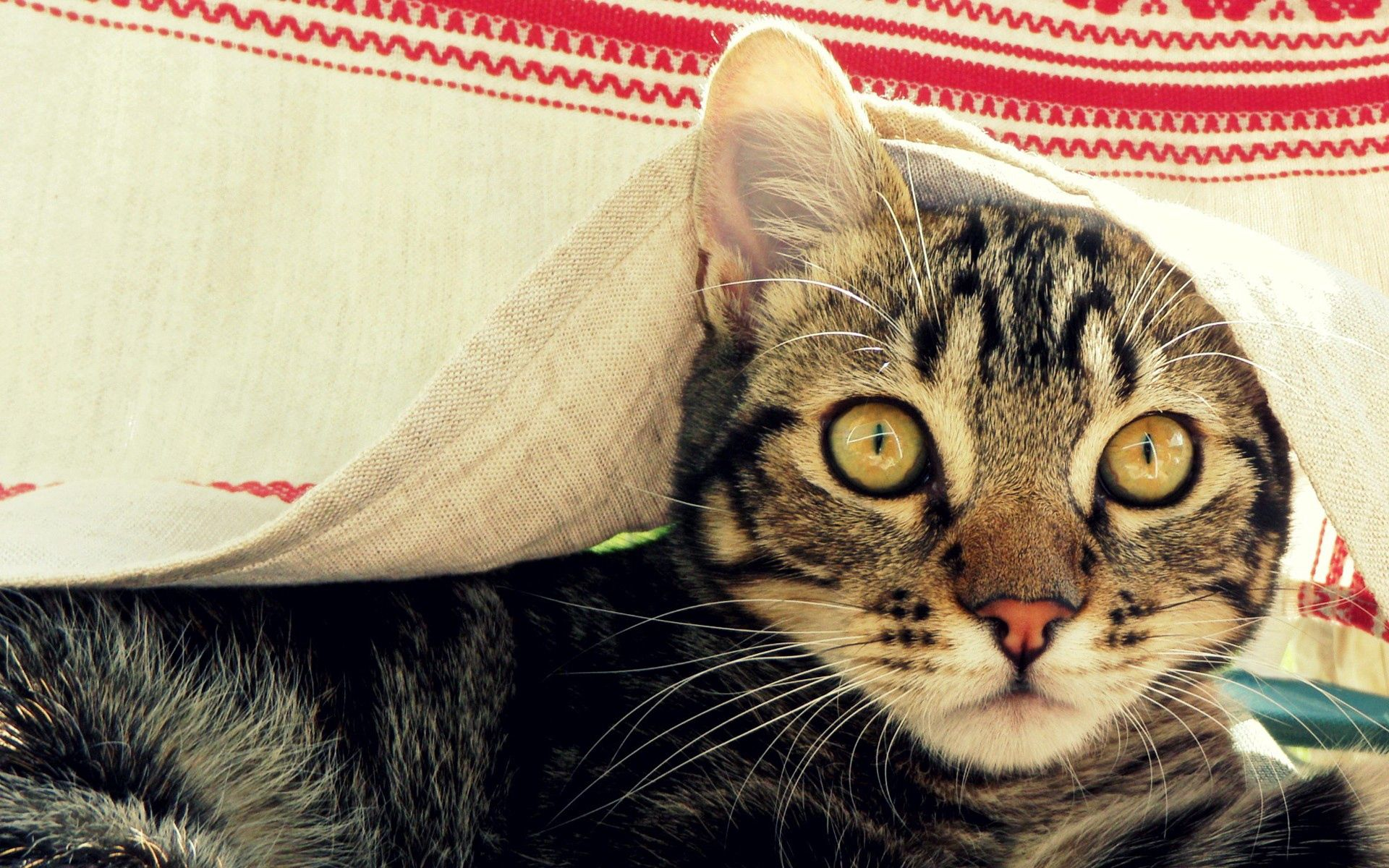 99549 download wallpaper Animals, Cat, Muzzle, Cover, Coverlet, Peek Out, Look Out screensavers and pictures for free