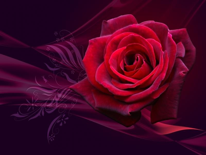 46004 скачать обои Растения, Цветы, Розы - заставки и картинки бесплатно