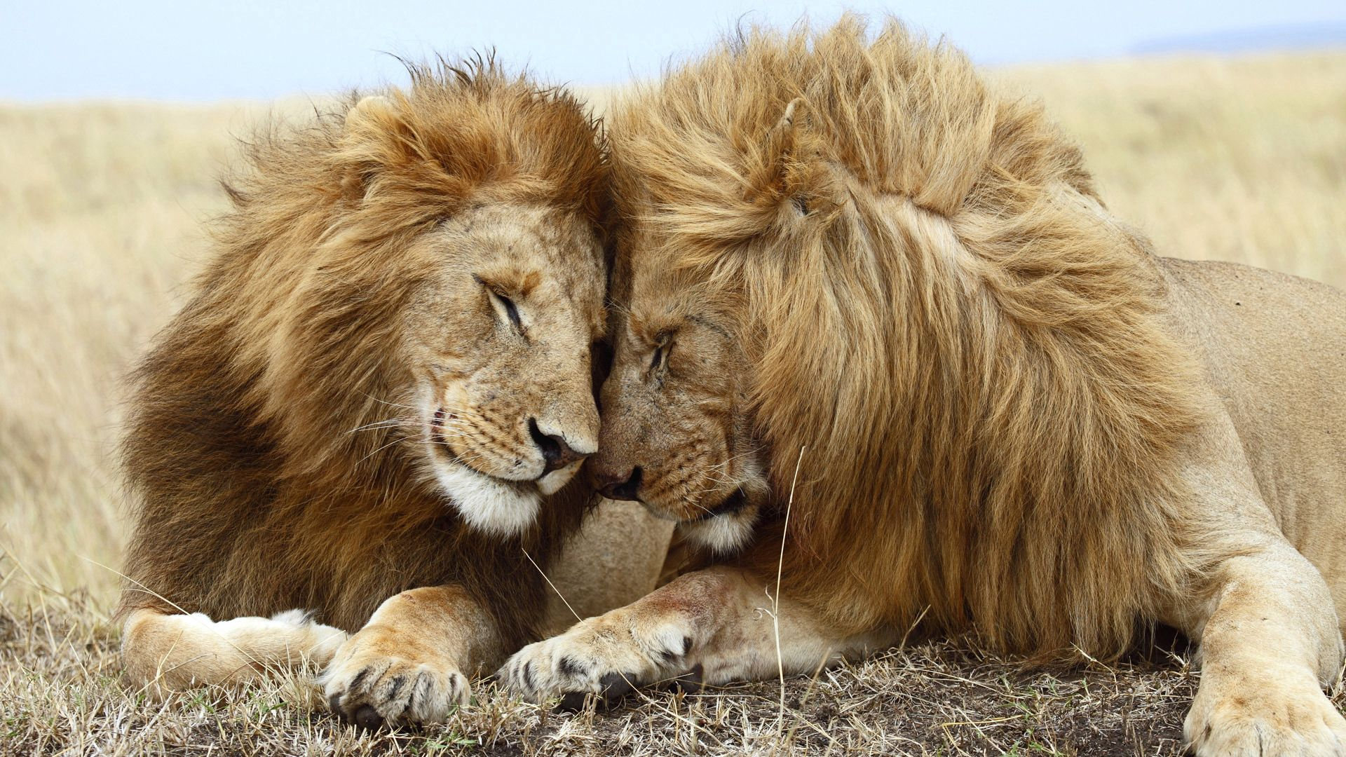 84166 download wallpaper Animals, Couple, Pair, Mane, To Lie Down, Lie, Lions screensavers and pictures for free
