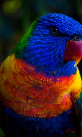 156011 download wallpaper Animals, Parrots, Color, Multicolored, Motley screensavers and pictures for free