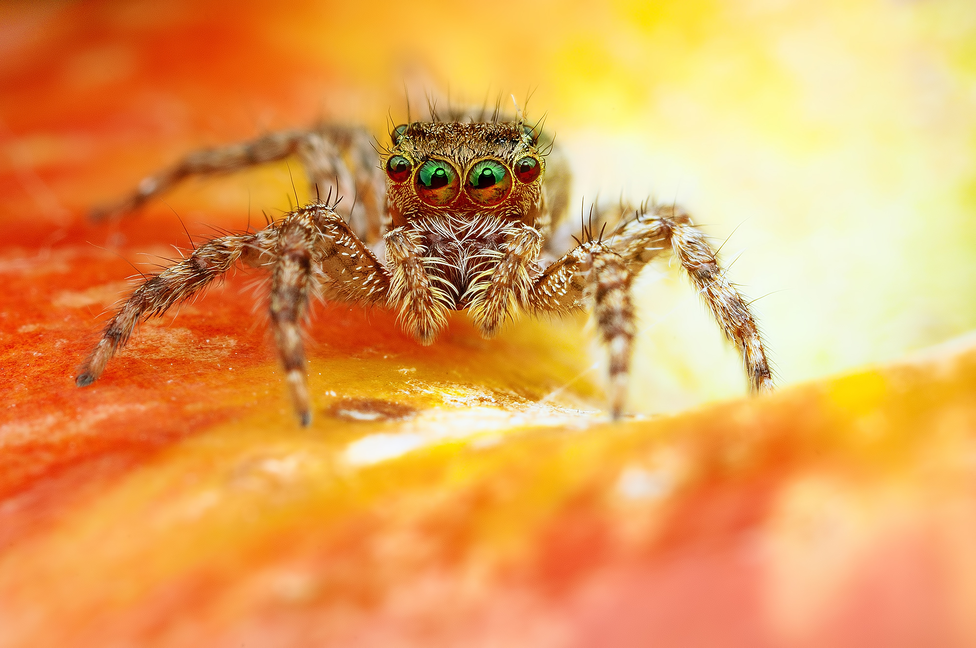 131091 download wallpaper Macro, Jumper, Spider, Eyes screensavers and pictures for free
