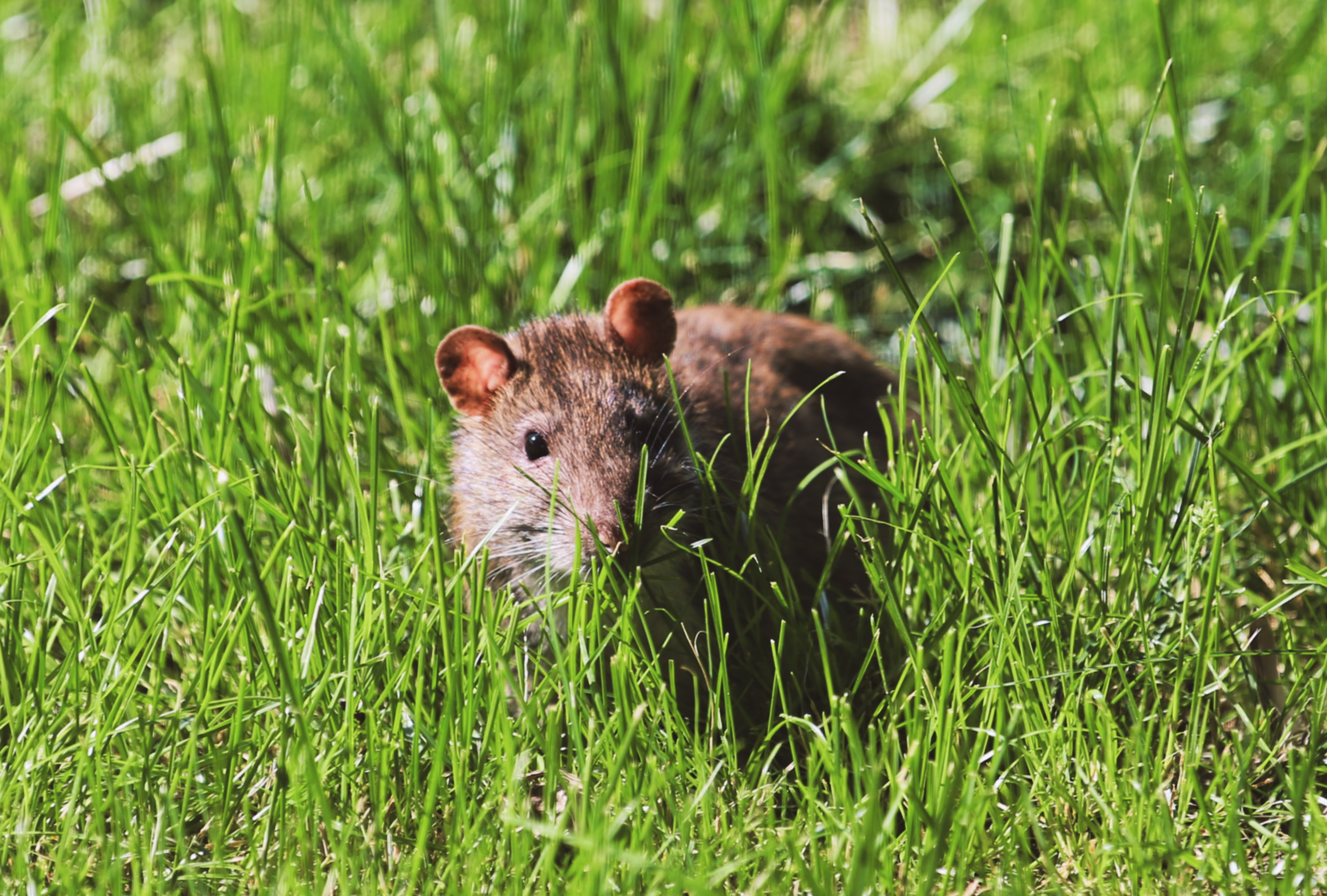 95546 download wallpaper Animals, Mouse, Rodent, Grass, Wildlife screensavers and pictures for free