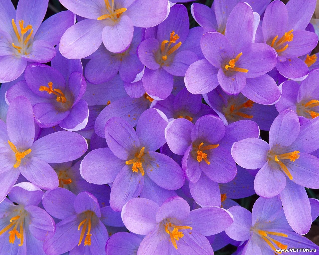 1608 download wallpaper Violet, Plants, Flowers, Background screensavers and pictures for free
