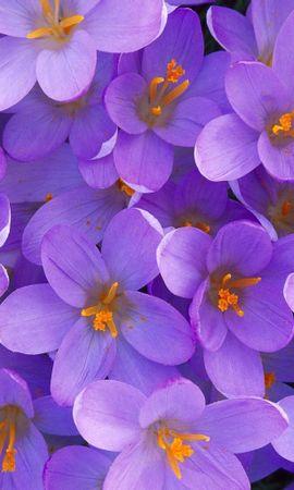 1608 baixar papel de parede Plantas, Flores, Fundo, Violeta - protetores de tela e imagens gratuitamente