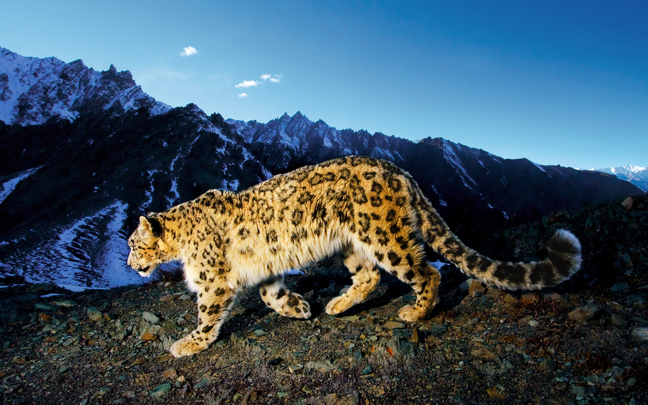 39950 download wallpaper Animals, Snow Leopard screensavers and pictures for free