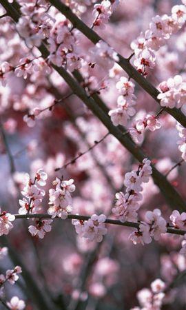 5777 скачать обои Растения, Цветы, Вишня, Сакура - заставки и картинки бесплатно