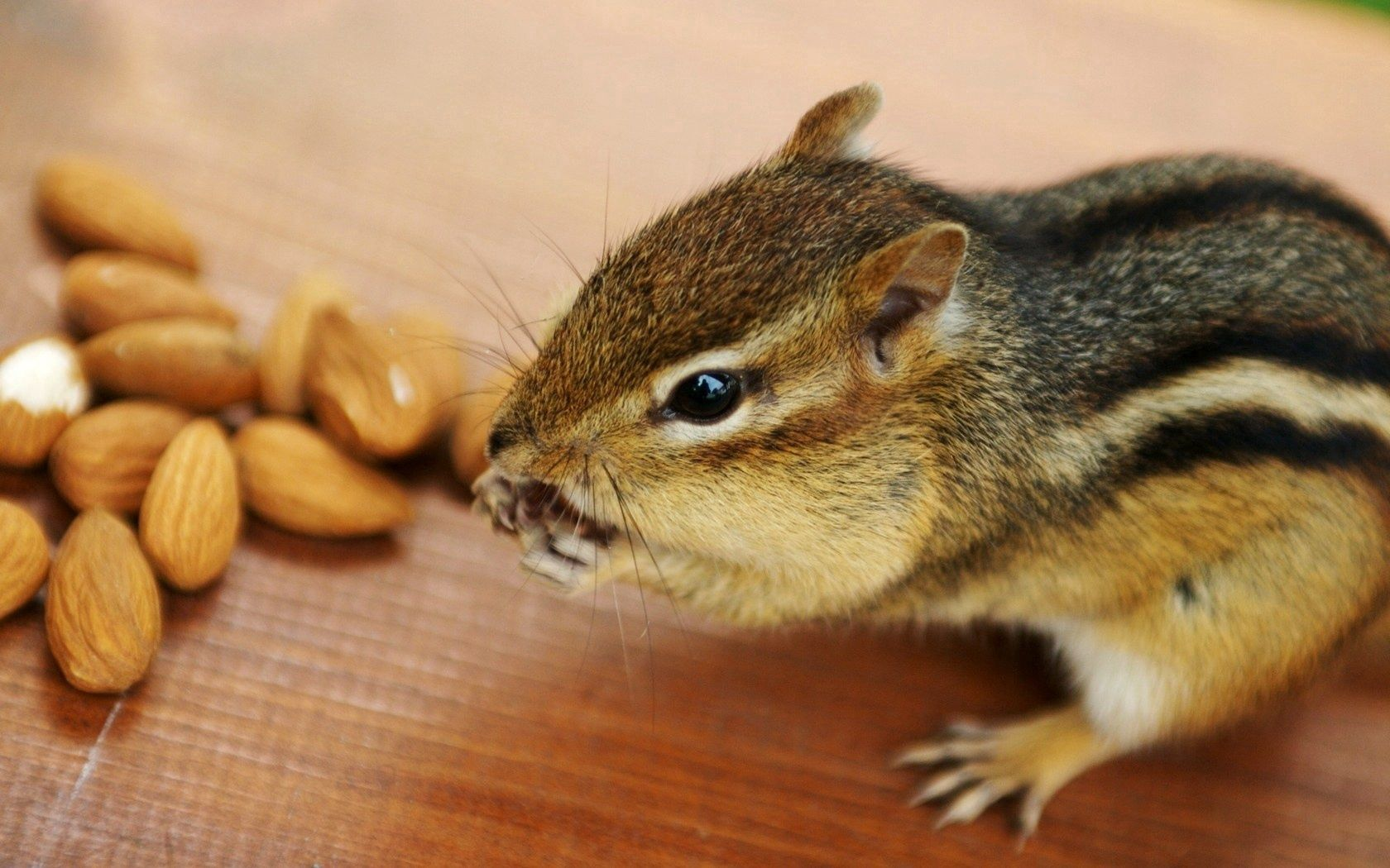 151913 download wallpaper Animals, Rodent, Nuts, Chipmunk, Animal screensavers and pictures for free
