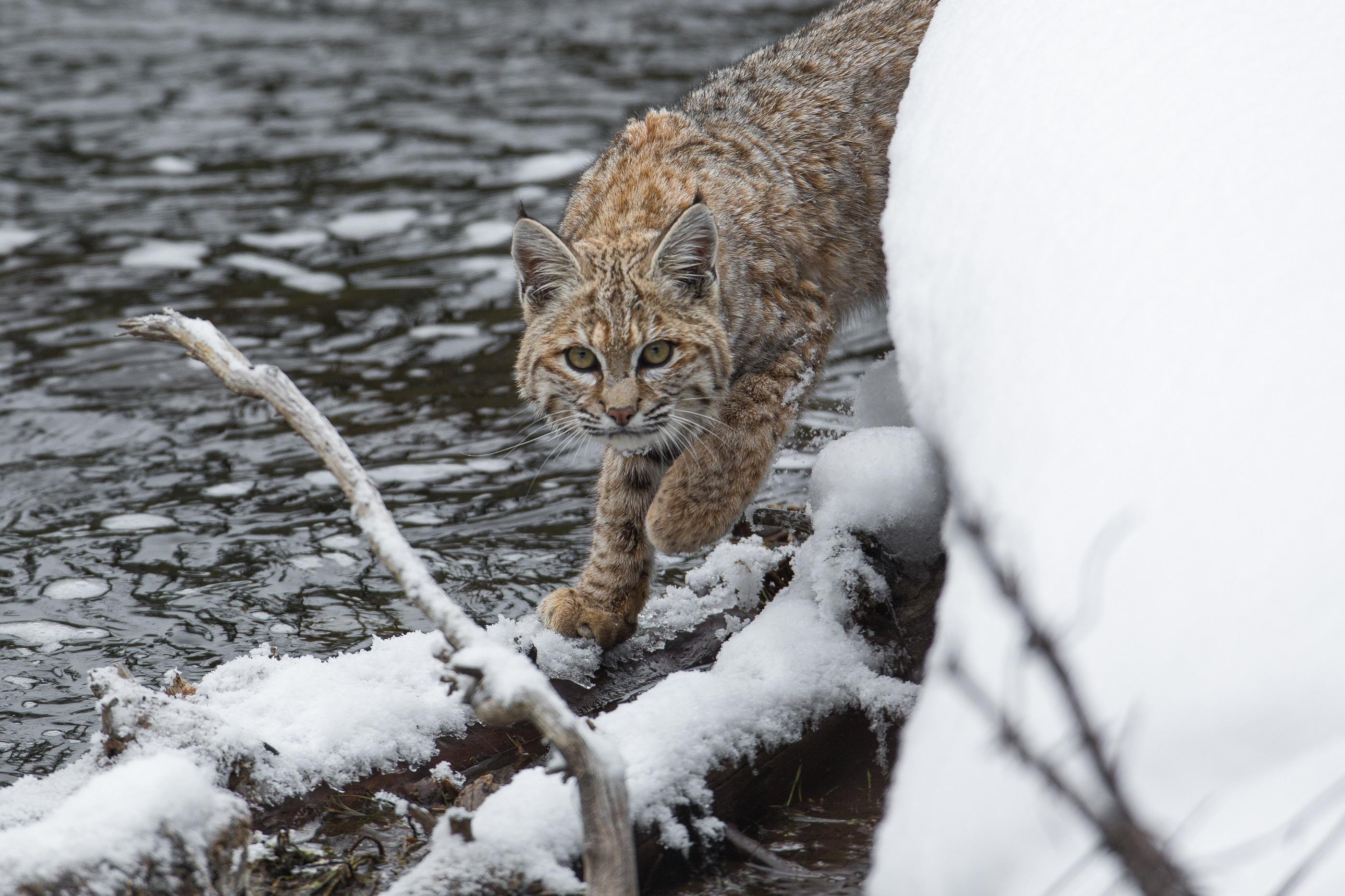 Download mobile wallpaper Predator, Iris, Animals, Snow for free.