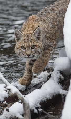 156943 download wallpaper Animals, Iris, Predator, Snow screensavers and pictures for free
