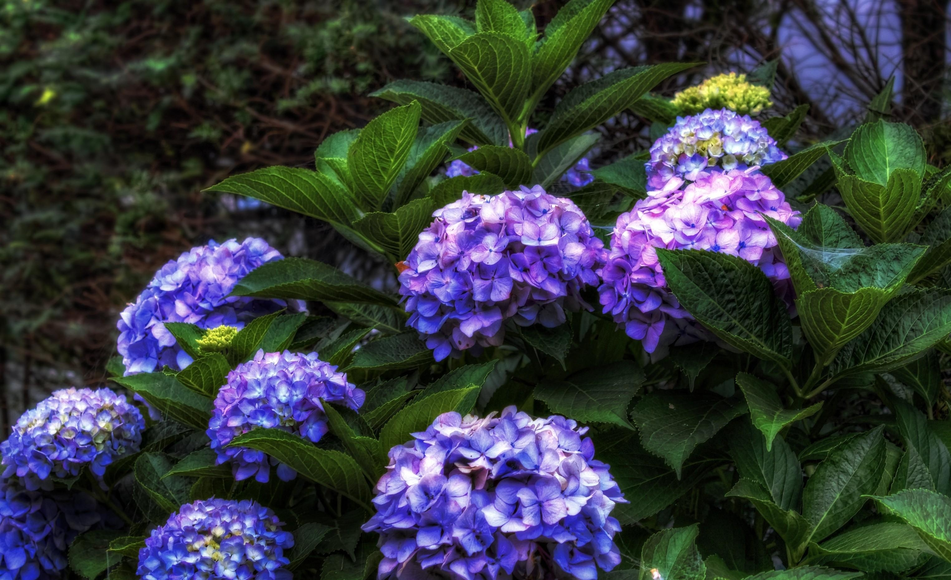 81584 download wallpaper Flowers, Hydrangea, Bush, Bloom, Flowering, Leaves, Greens screensavers and pictures for free