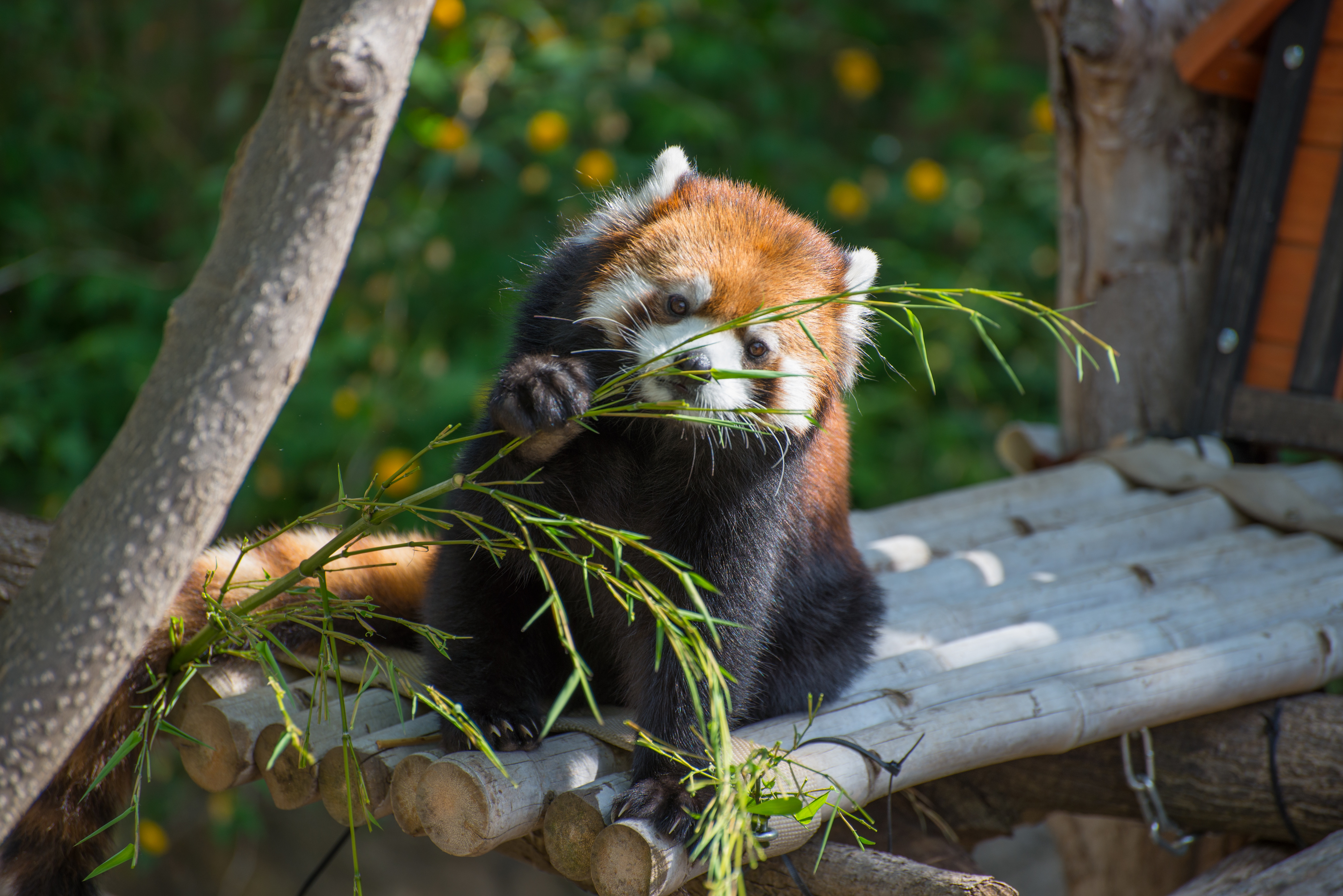 154021 download wallpaper Animals, Red Panda, Nice, Sweetheart, Branch, Bamboo screensavers and pictures for free