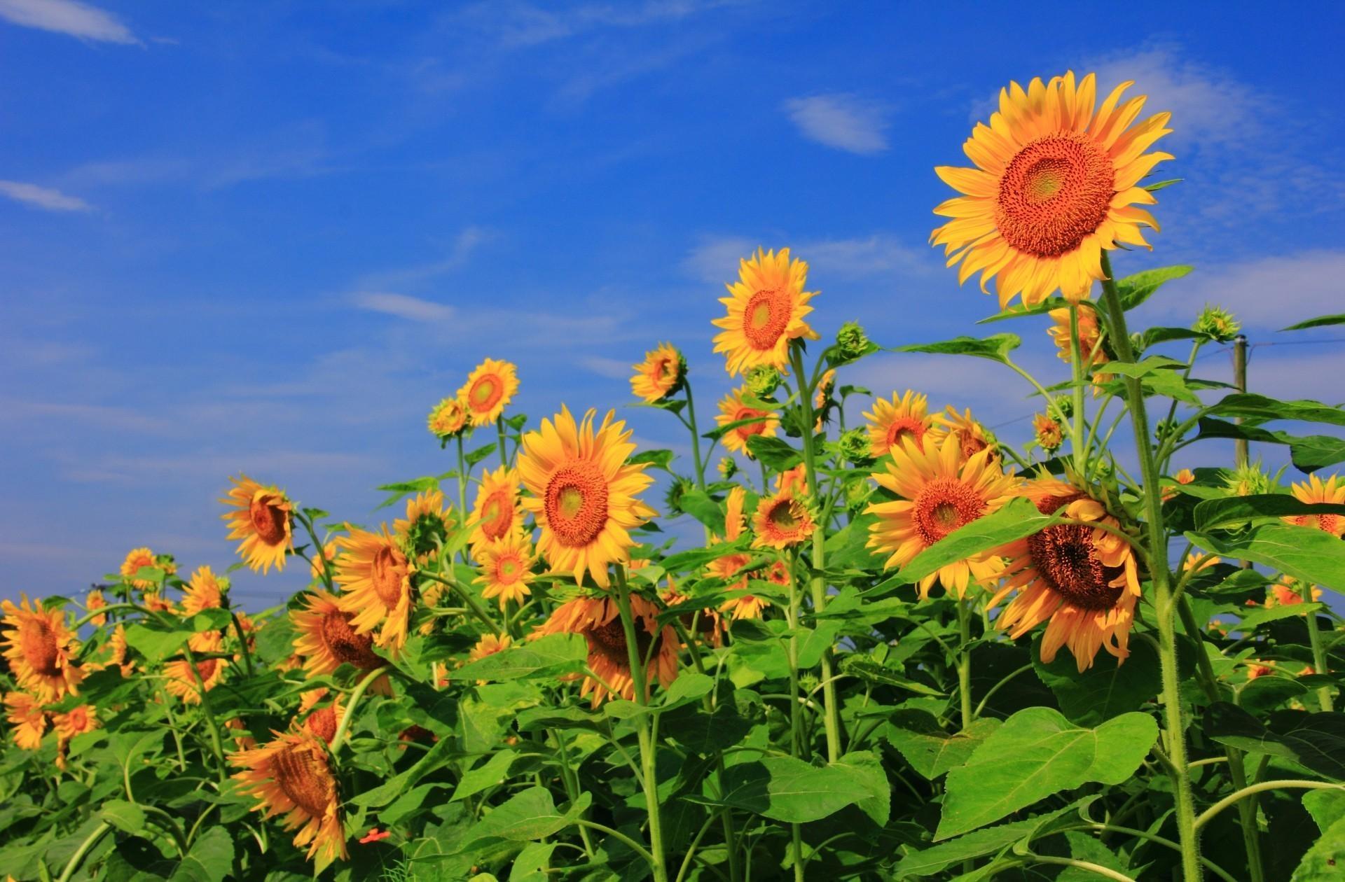 147070 Hintergrundbild herunterladen Sonnenblumen, Blumen, Sky, Sommer, Grüne, Grünen, Feld - Bildschirmschoner und Bilder kostenlos