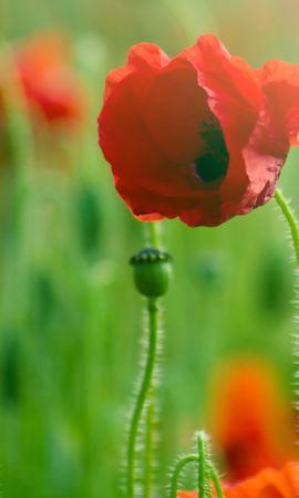 14622 скачать обои Растения, Цветы, Маки - заставки и картинки бесплатно