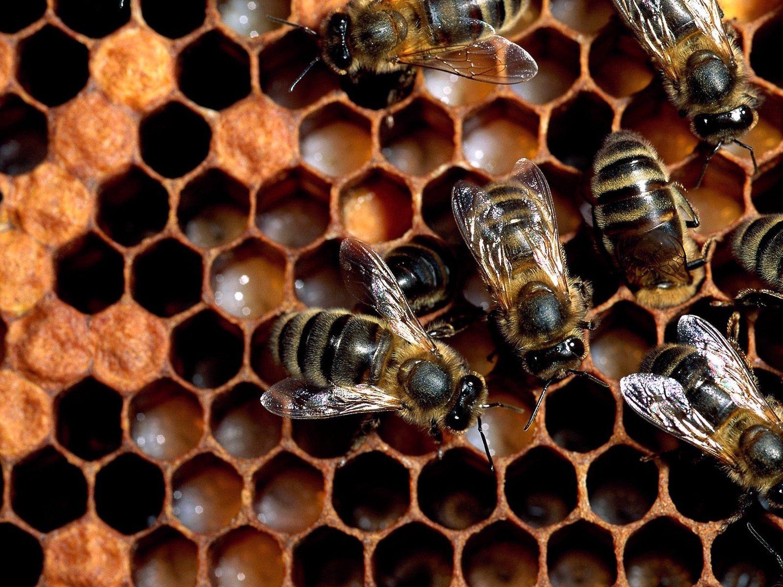 86223 Hintergrundbild herunterladen Bienen, Makro, Herde, Honig, Bienenwabe, Waben - Bildschirmschoner und Bilder kostenlos