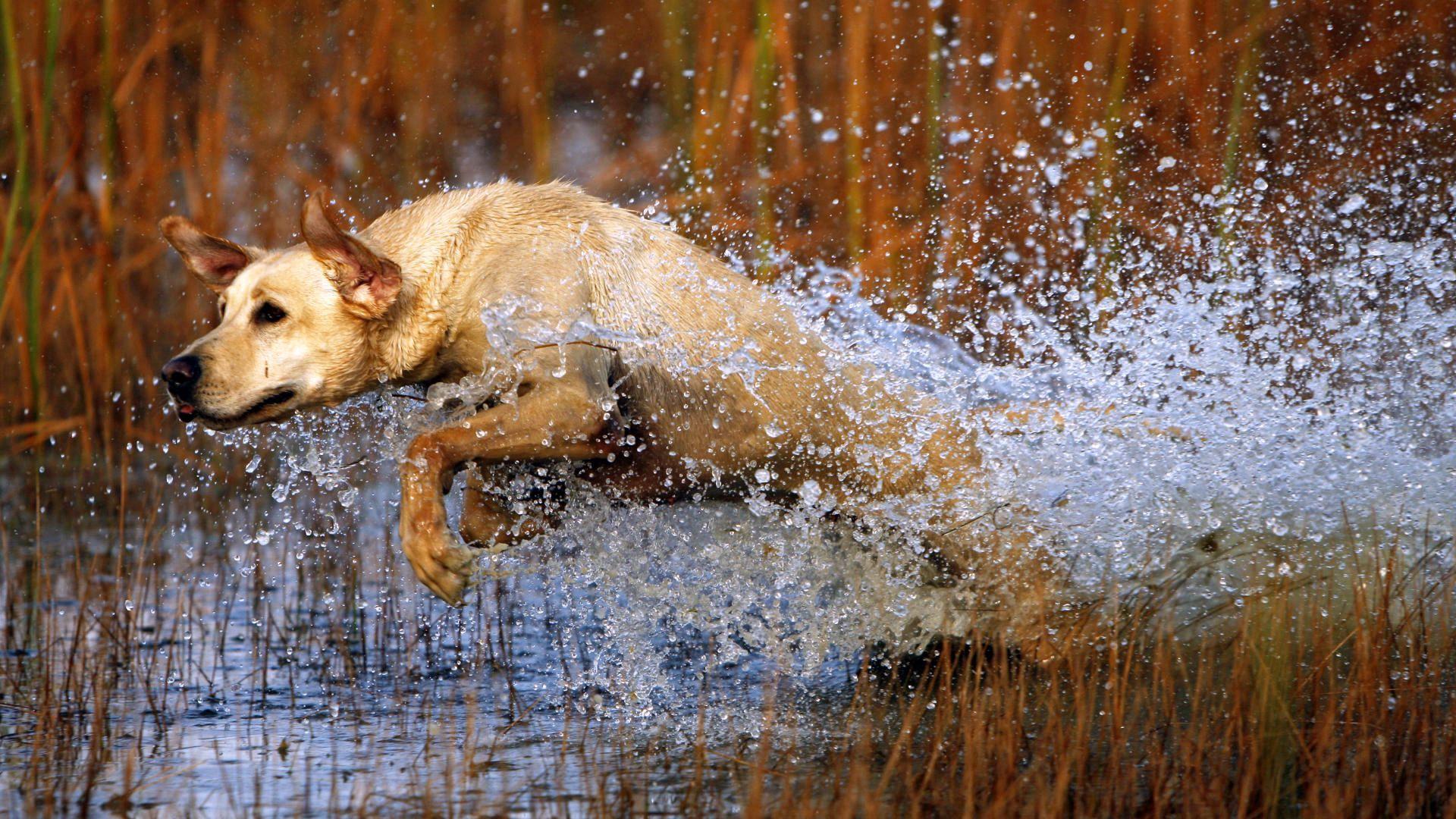 140563 Hintergrundbild 1024x600 kostenlos auf deinem Handy, lade Bilder Tiere, Wasser, Grass, Hund, Labrador, Prallen, Springen, Jagd 1024x600 auf dein Handy herunter