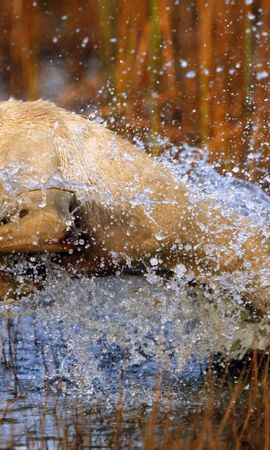 140563 download wallpaper Animals, Dog, Labrador, Bounce, Jump, Water, Grass, Hunting, Hunt screensavers and pictures for free