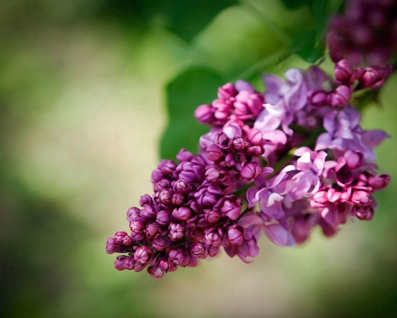82493 Hintergrundbild herunterladen Blumen, Lilac, Bindweed, Nahaufnahme, Blühen, Blühenden, Nahansicht, Frühling - Bildschirmschoner und Bilder kostenlos