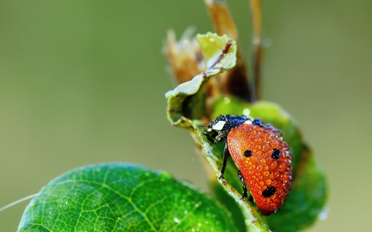19813 download wallpaper Insects, Ladybugs, Drops screensavers and pictures for free