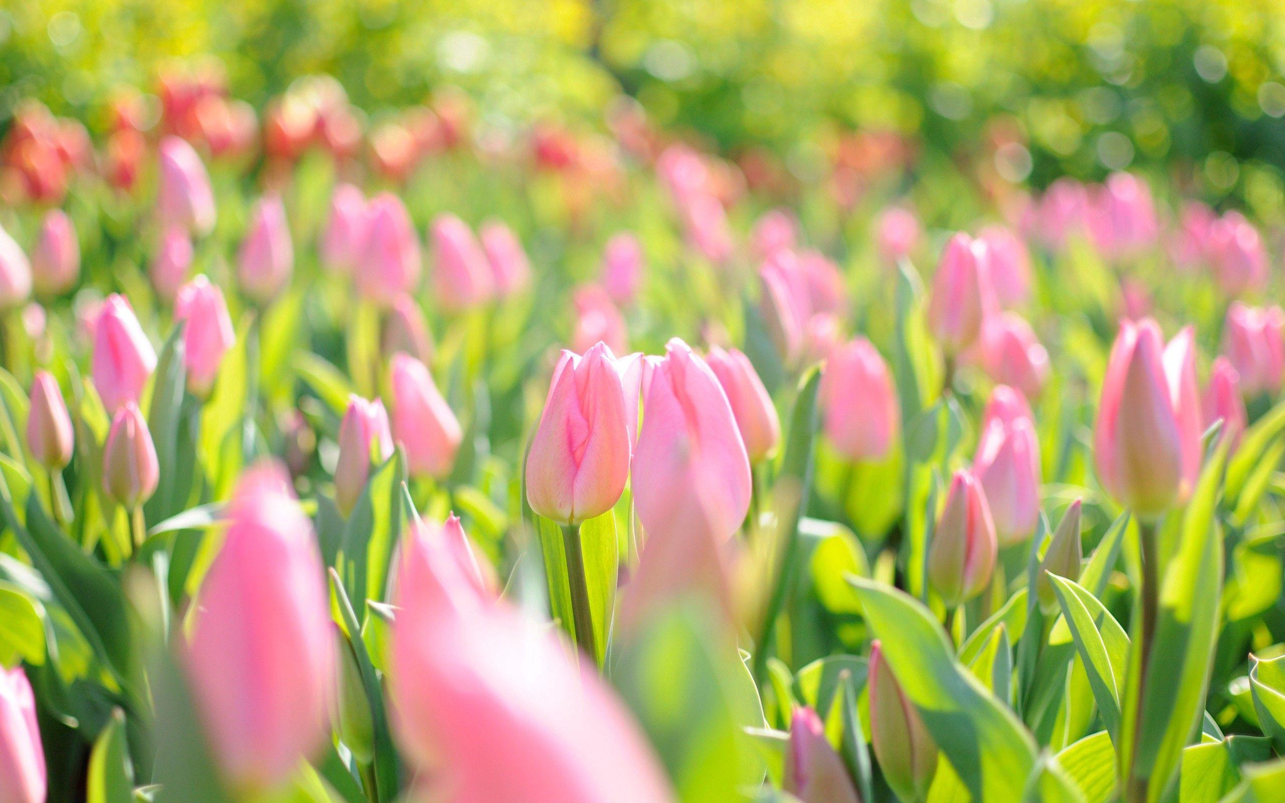 128955 Hintergrundbild herunterladen Natur, Blumen, Rosa, Tulpen, Feld - Bildschirmschoner und Bilder kostenlos